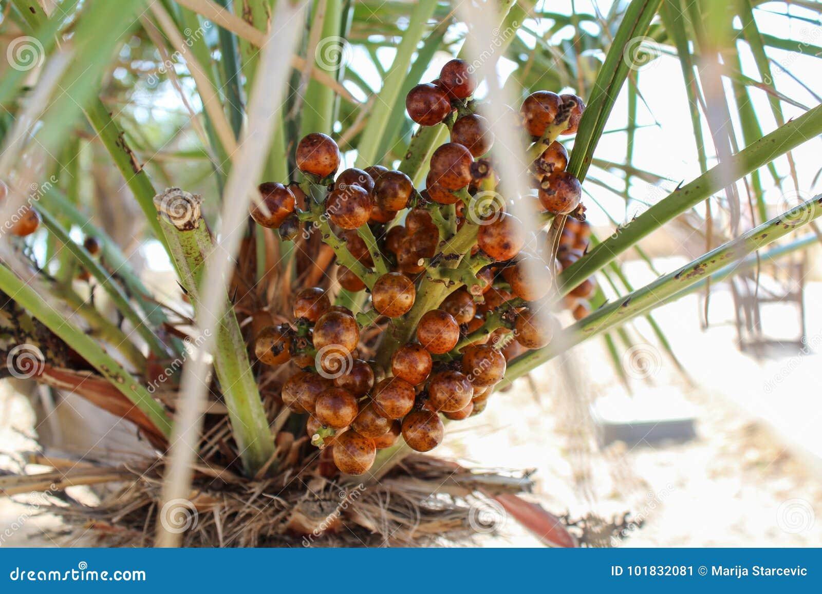 Palm fruit harvest, close up look malta