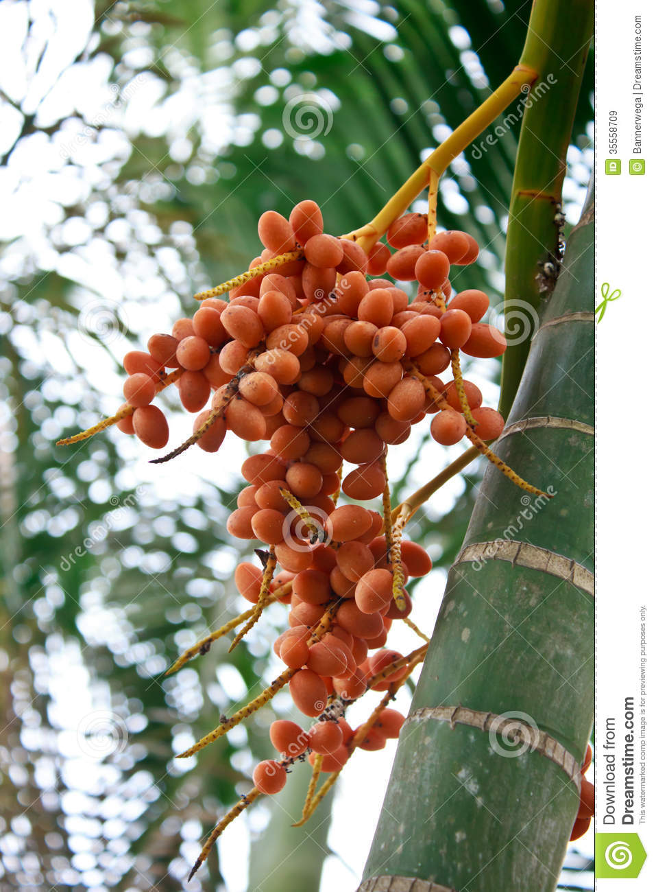 Palm fruit on the tree stock image. Image of food, grown ...