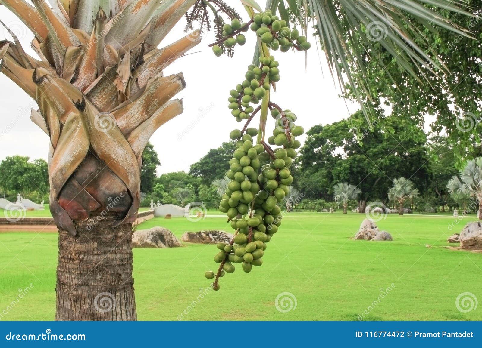 Palm fruit tree Raja Lipstick Sealing wax , Lipstick , Raja , Maharajah ornamental plant in garden on white background