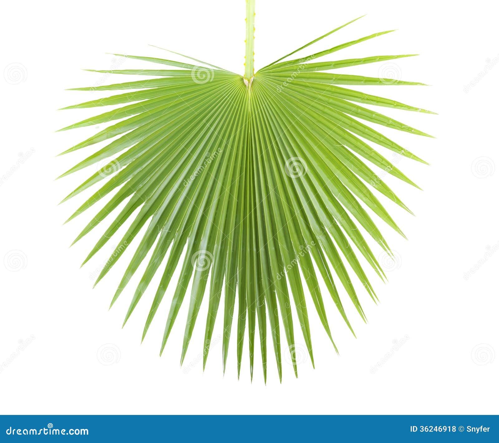 Palm Leaf. Royalty Free Stock Photos - Image: 36246918