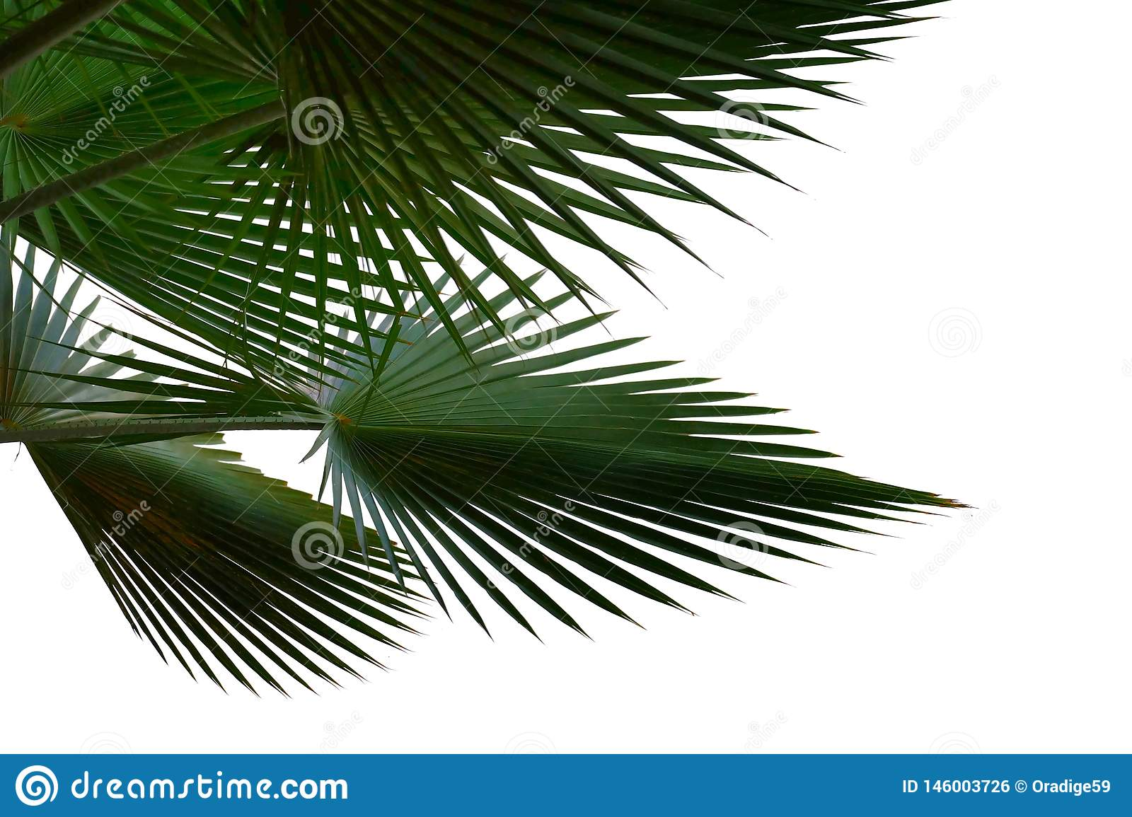 Palm leaves on white isolated background for green foliage backdrop