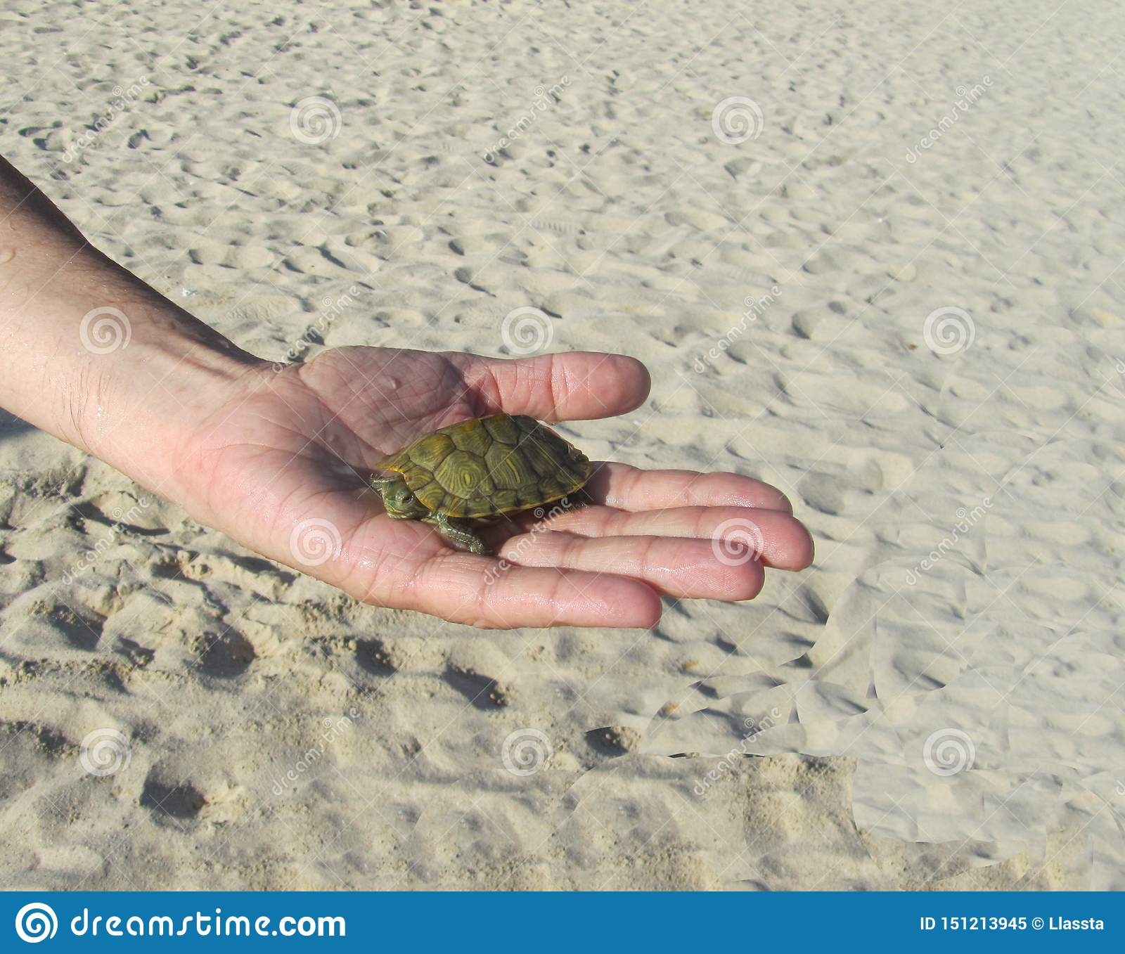 On the palm lies a small turtle