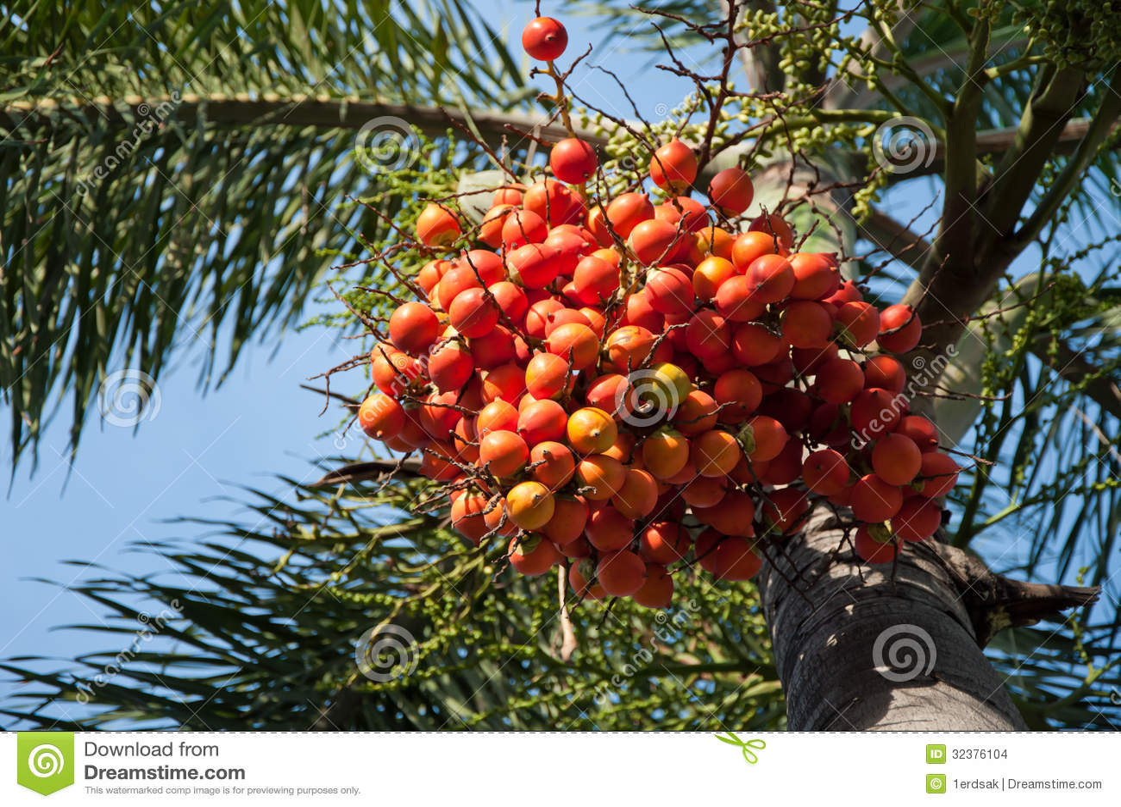 Palm Nut Tree Stock Photo Image Of Thai Malaysia Asia