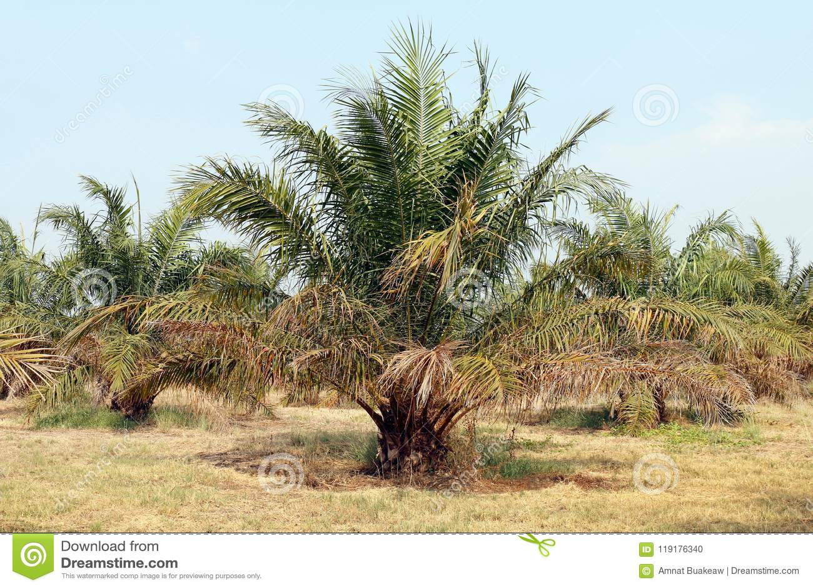 Palm, Oil Tree Palm Garden, Palm Plantation Stock Photo - Image of ...