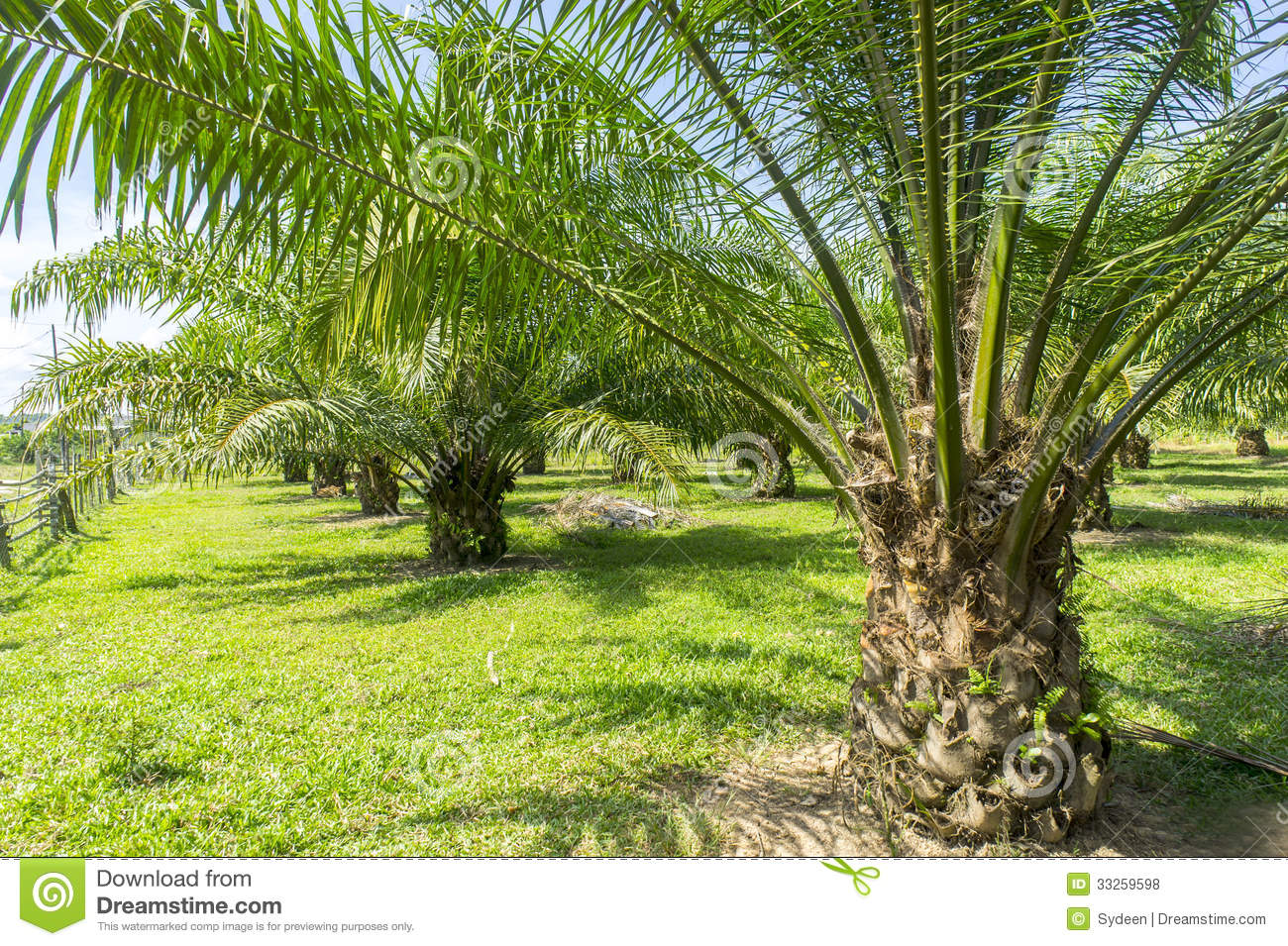 Palm Oil Tree Royalty Free Stock Photos - Image: 33259598