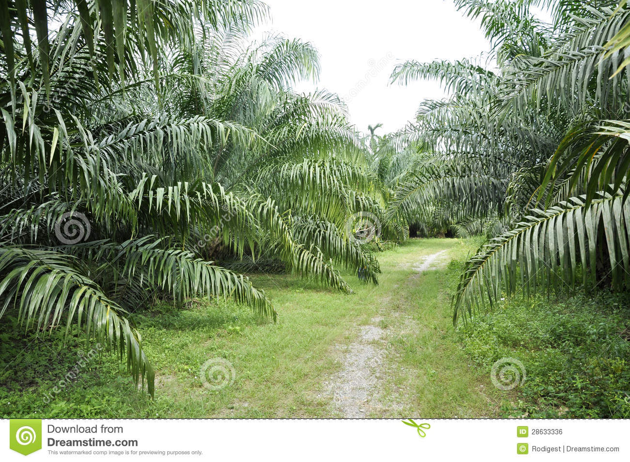 palm outdoor farm crop way royalty free stock image image 28633336