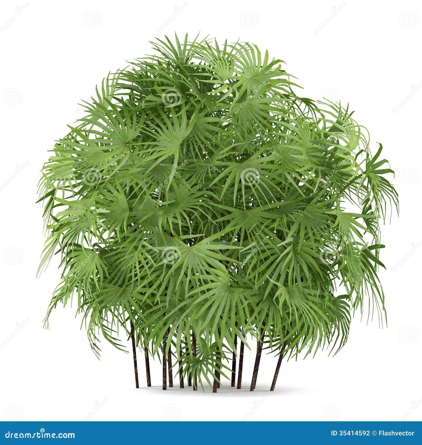 Palm Plant Bush Isolated Rhapis Excelsa Photography