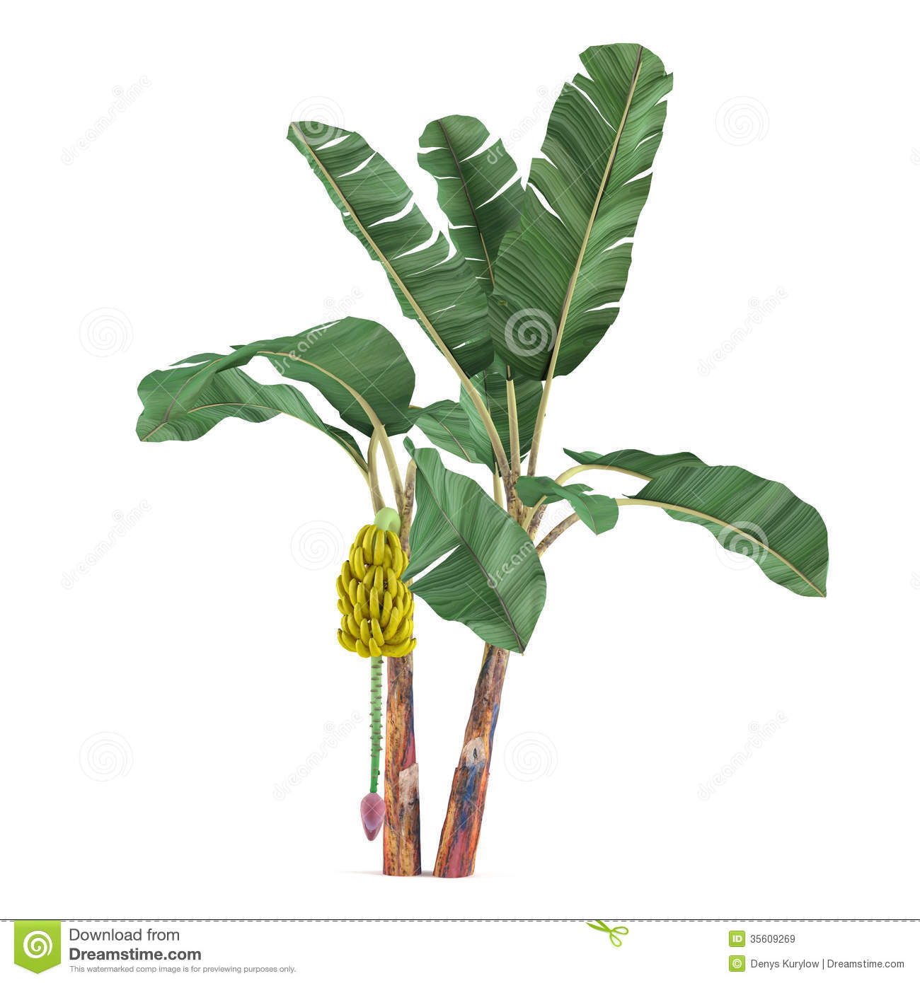 Palm plant tree isolated musa acuminata banana see my other works in