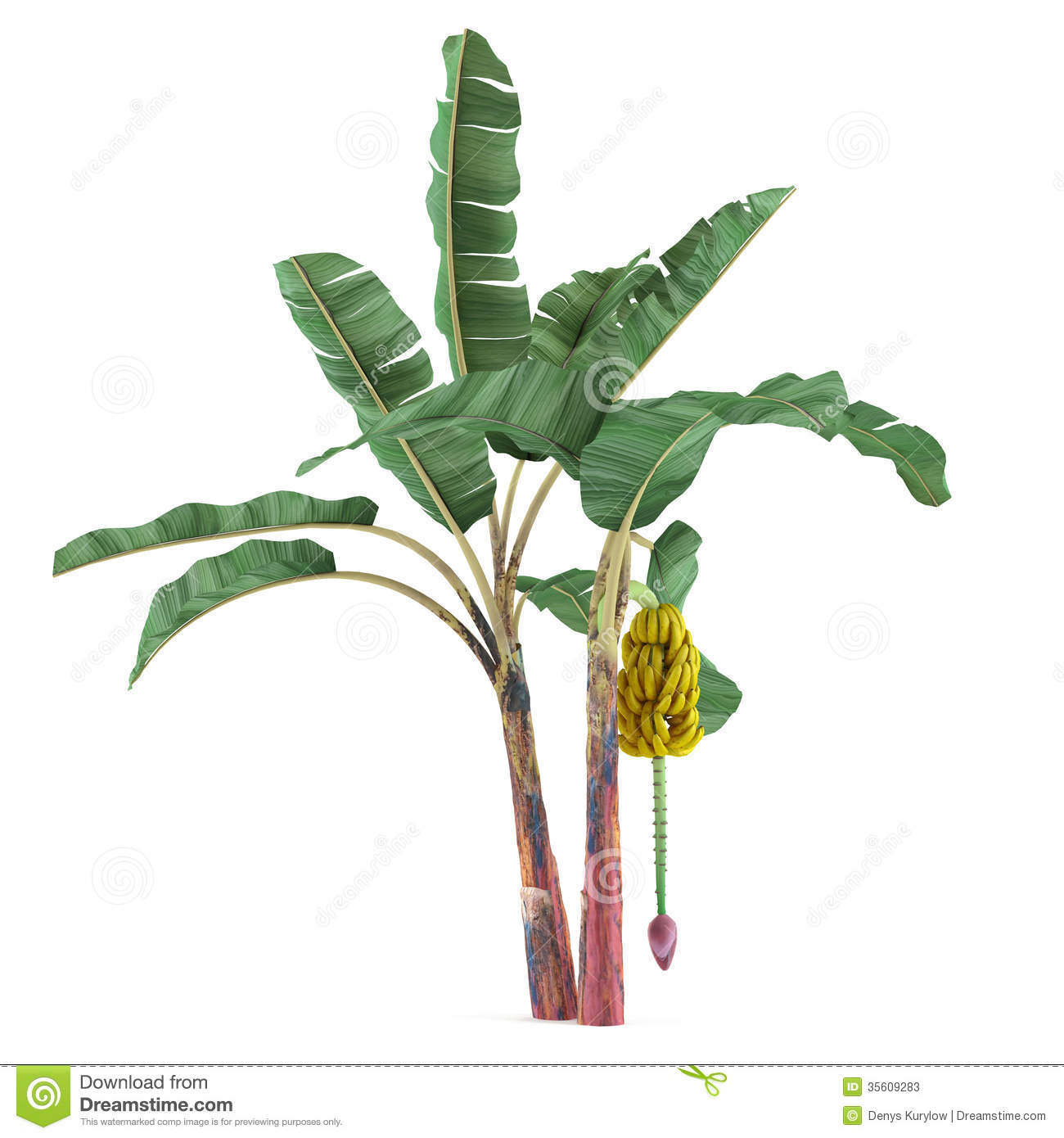 Palm Plant Tree Isolated Musa Acuminata Banana Botanic Jungle