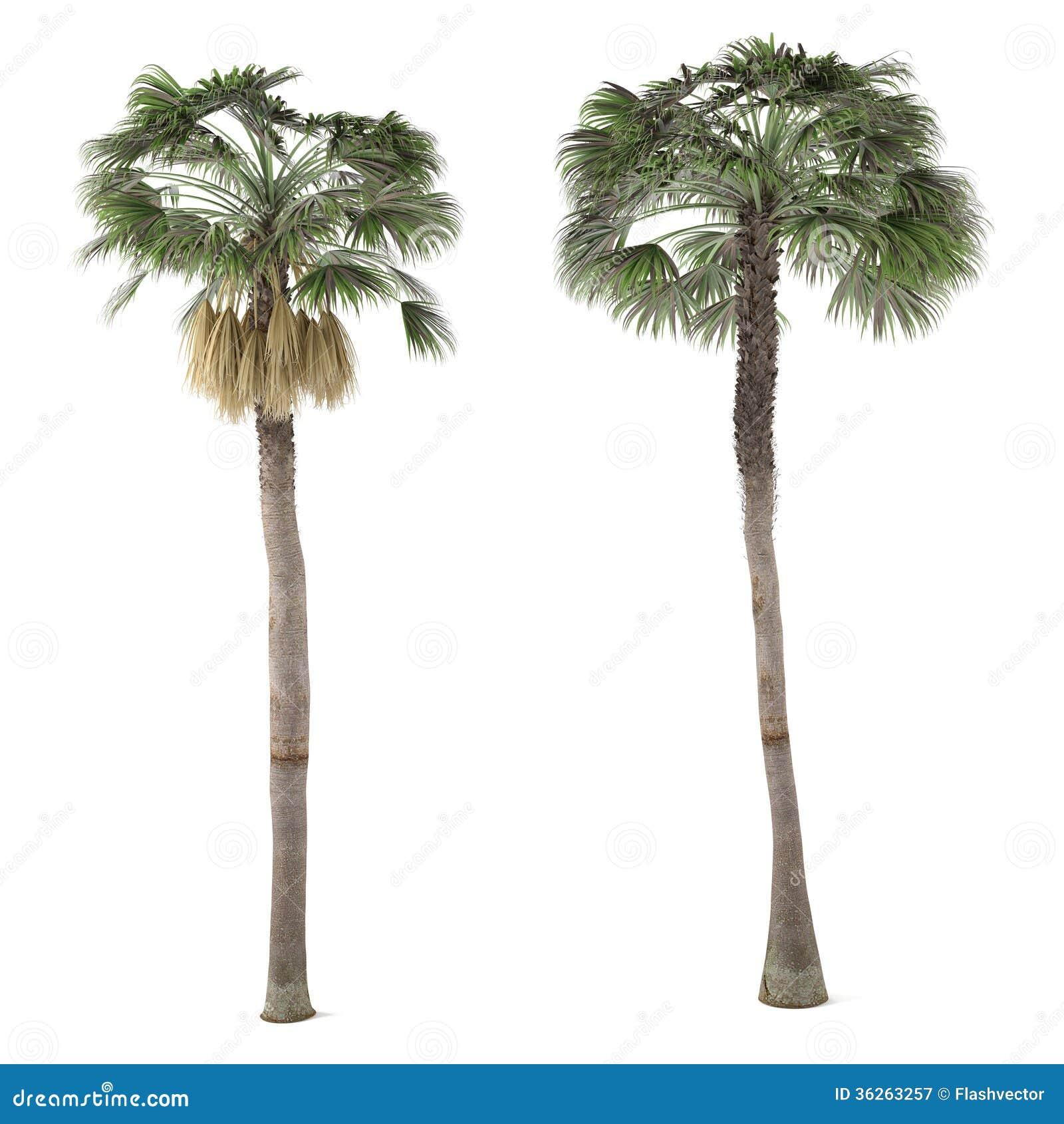... Free Stock Photography: Palm plant tree isolated. Washingtonia Robusta