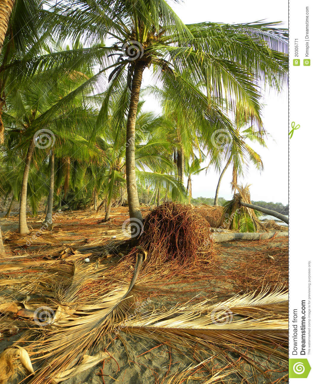 Palm roots fronds stock image image of wreckage cables - Radici palma ...