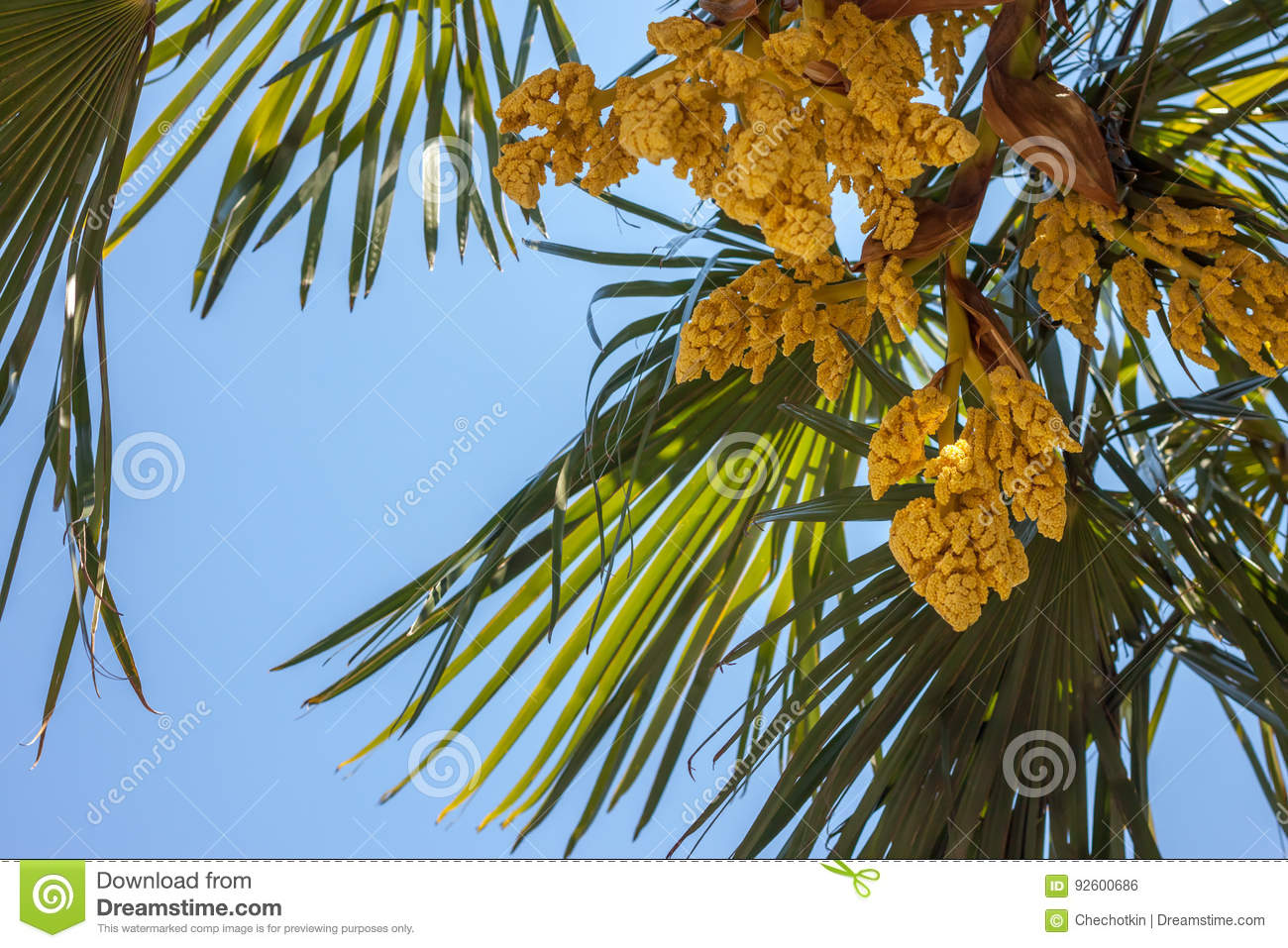 Palm tree blooming yellow flowers against blue sky stock photo download comp mightylinksfo