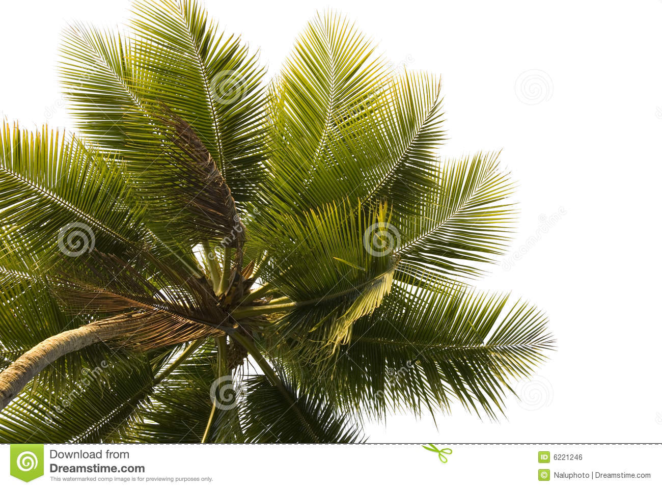 Palm Tree Close-up Isolated
