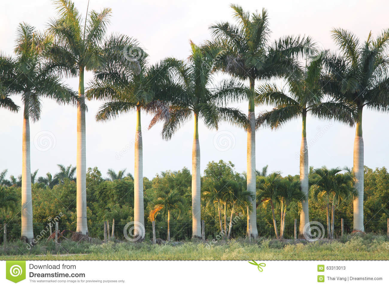 Palm Tree In Florida Stock Image Image Of Juice Lower 63313013