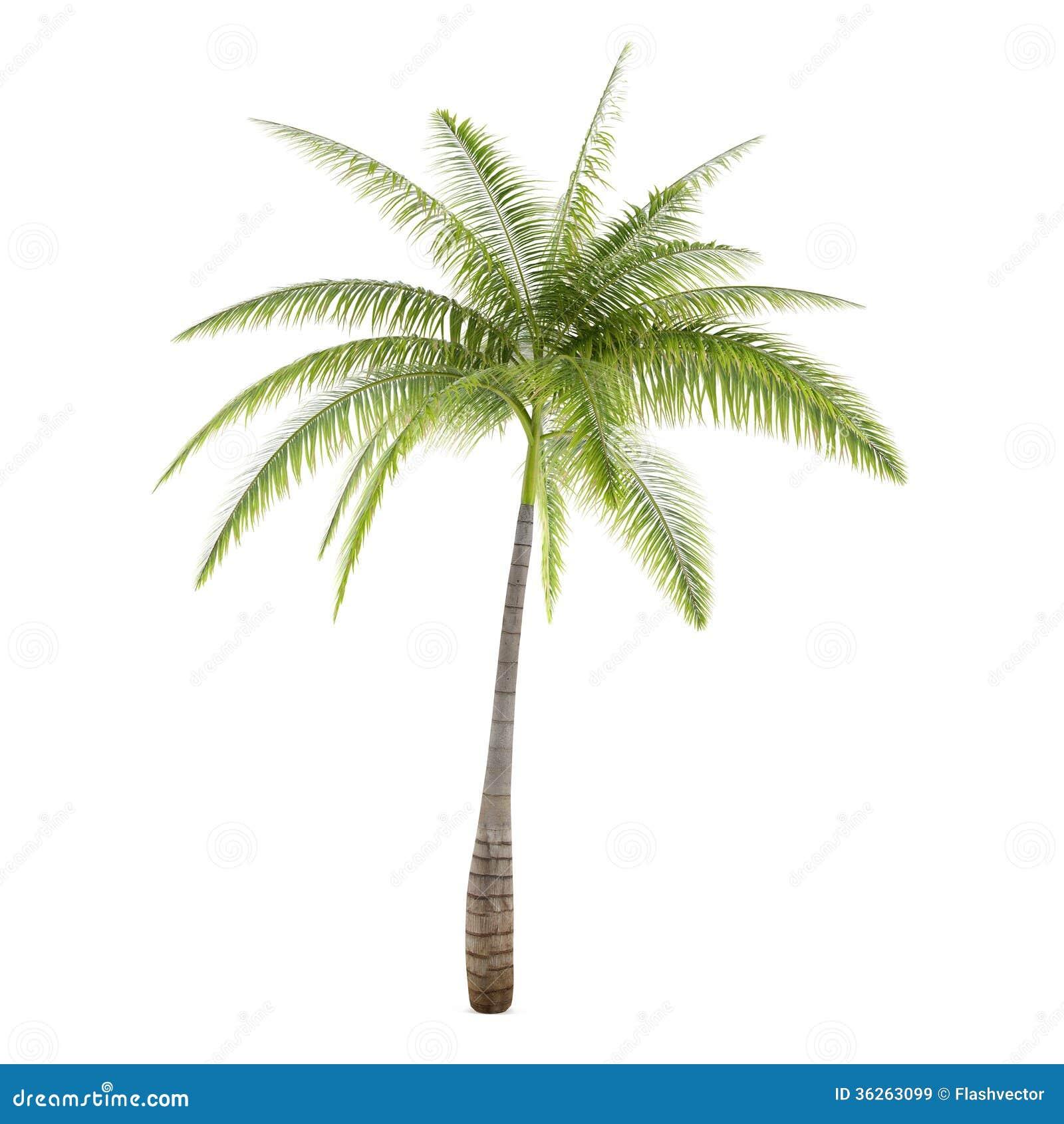 palm tree isolated hyophorbe lagenicaulis royalty free stock