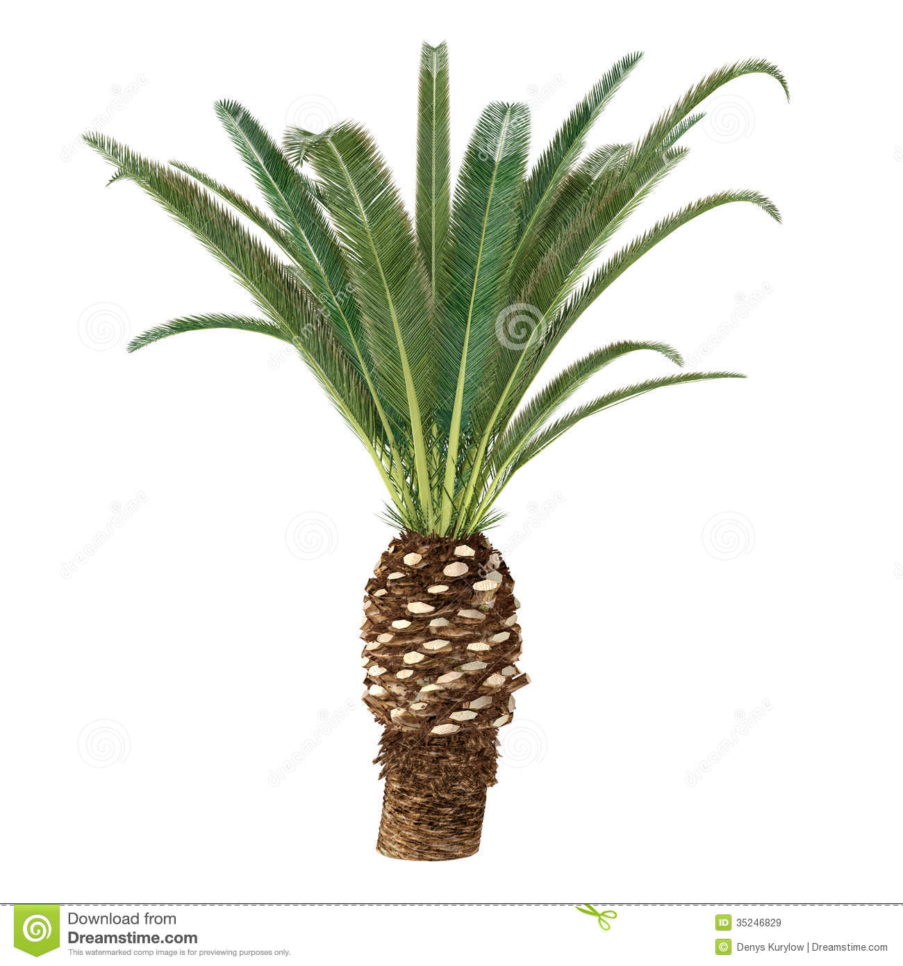 Palm Tree Isolated. Phoenix Canariensis Royalty Free Stock Images ...