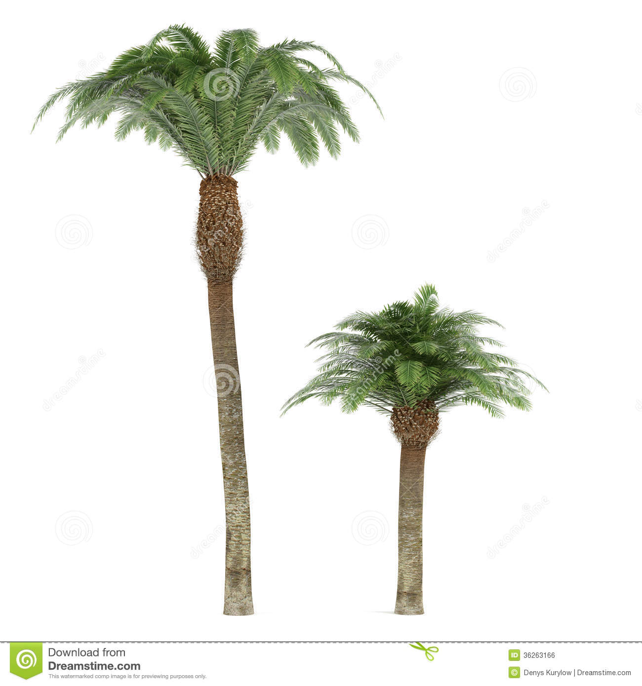 palm tree isolated phoenix canariensis stock illustration. Black Bedroom Furniture Sets. Home Design Ideas