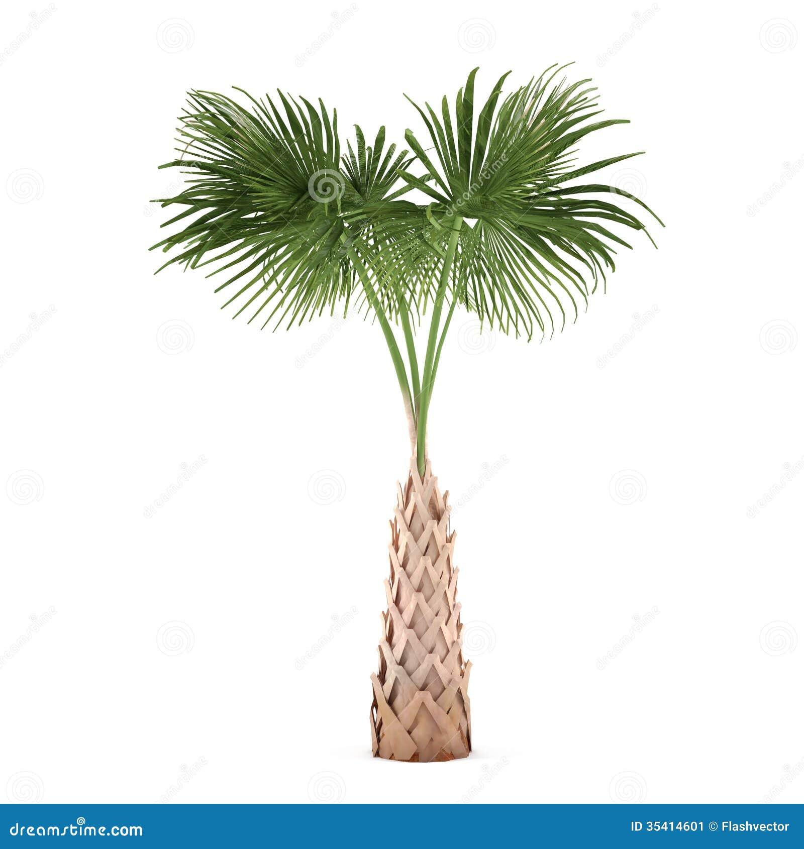 Sabal palmetto Plant Profile  Floridata Home