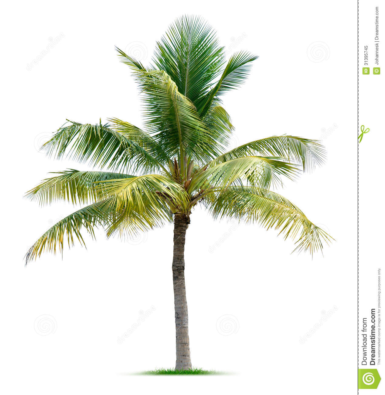 palm tree stock image image of coconut  botanical  white 31395745 free palm tree vector art free palm tree vector illustrator