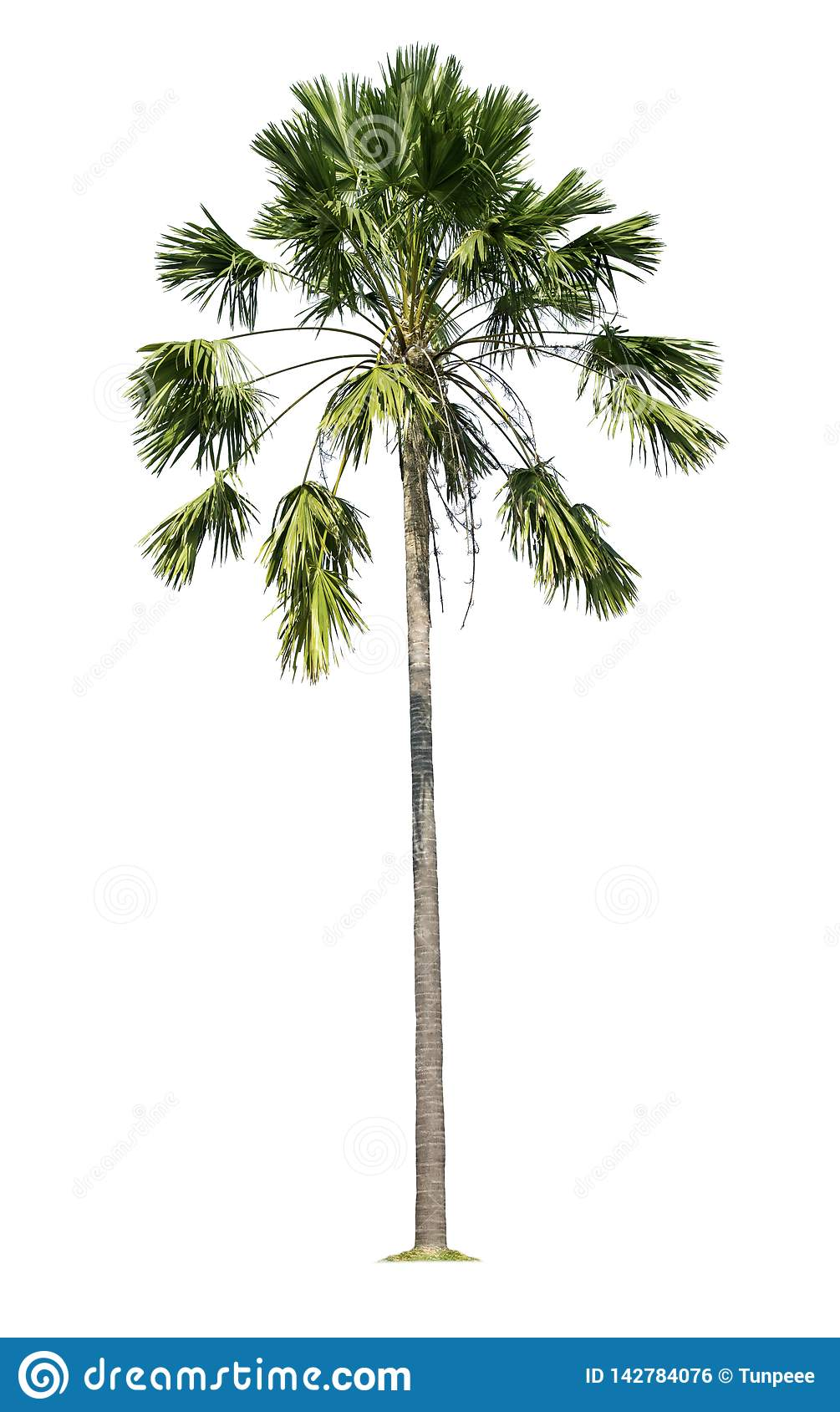Palm tree isolated on white background with clipping paths