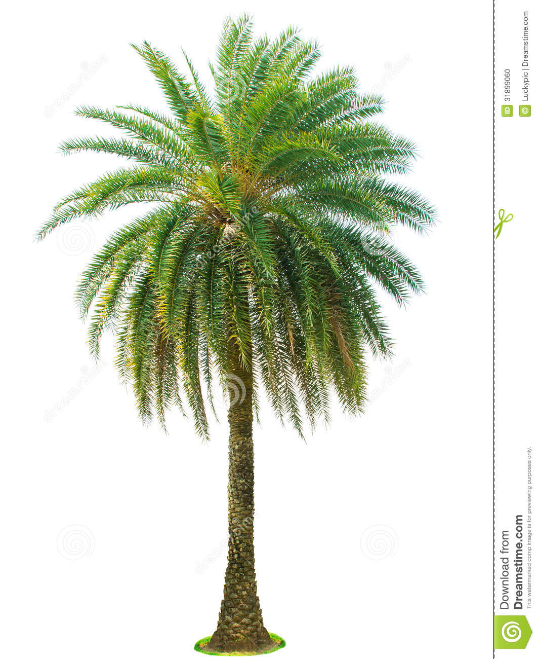 Palm Tree Isolated On White Background Stock Photo - Image ... - photo#47