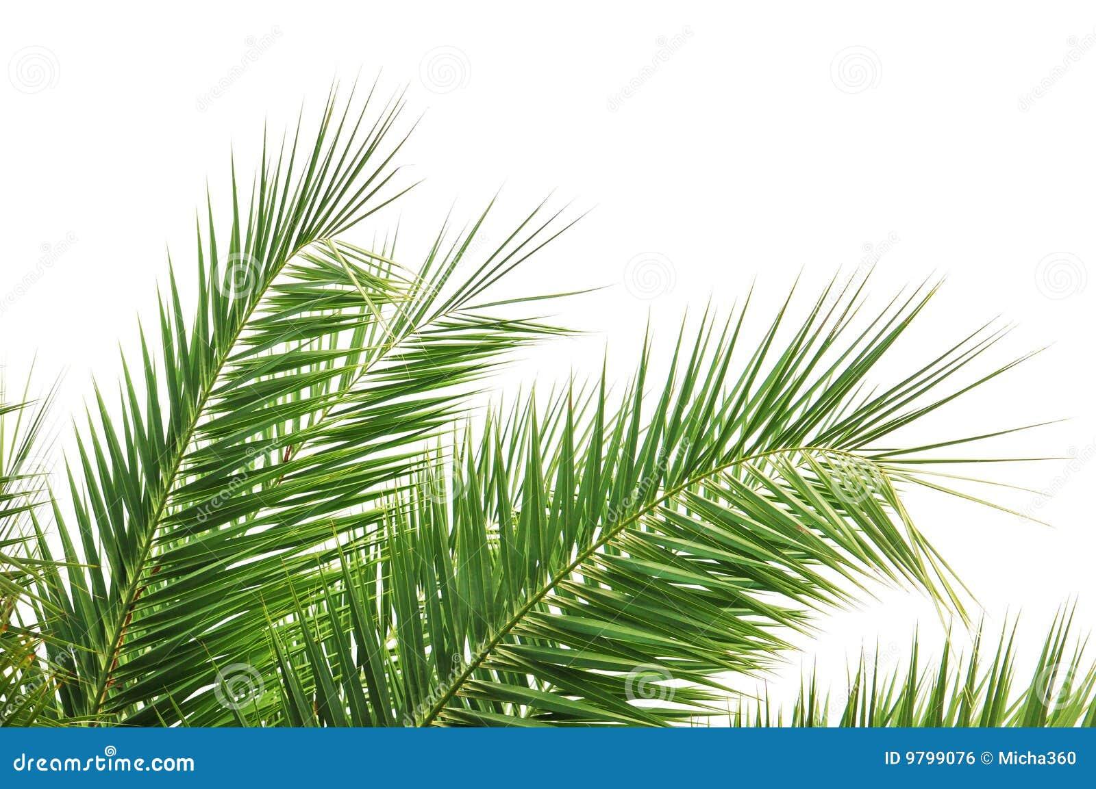 Palm Tree Leaves Stock Photo Image Of Botanic Plant
