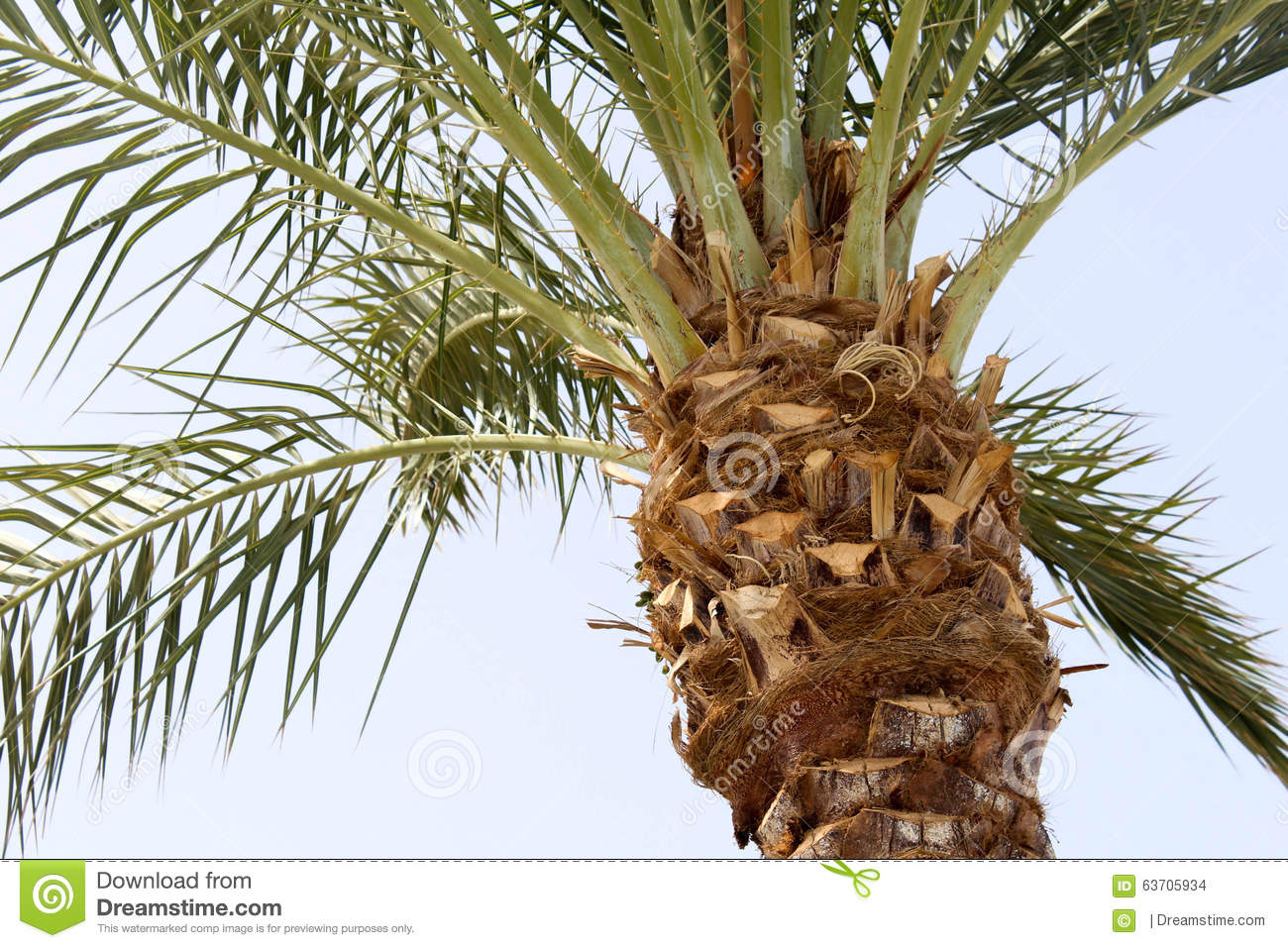 palm tree krone branches - photo #26