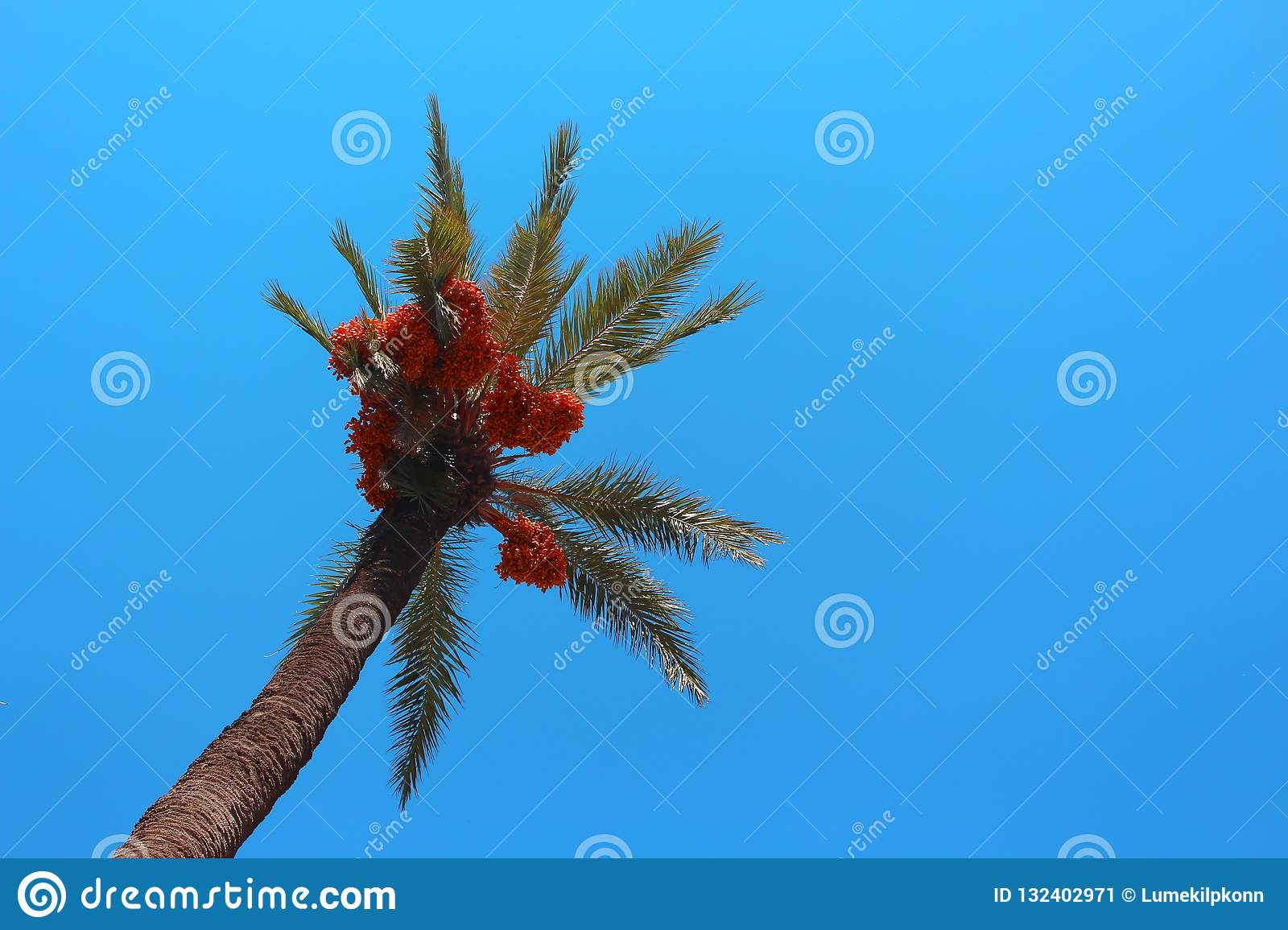 Palm Tree with Orange Berries and Calm Blue Sky