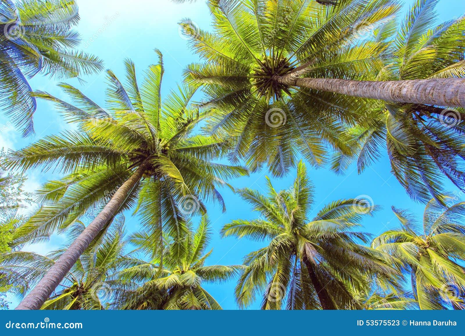 Palm Tree With Sunny Day. Jungle Of Thailand. Koh Samui ...