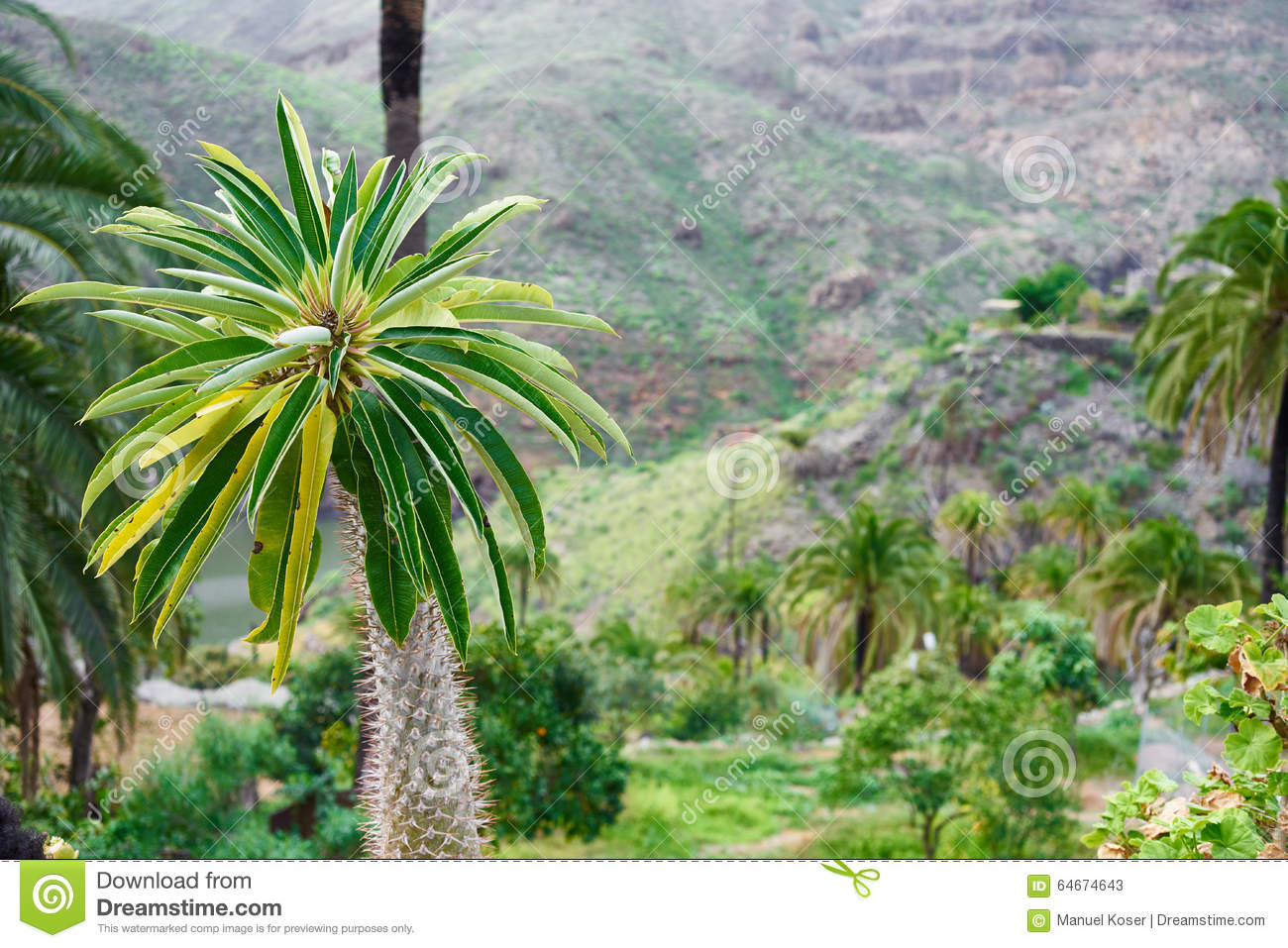 Palm tree before wide canyon in gran canaria stock photo - Standing canarias ...