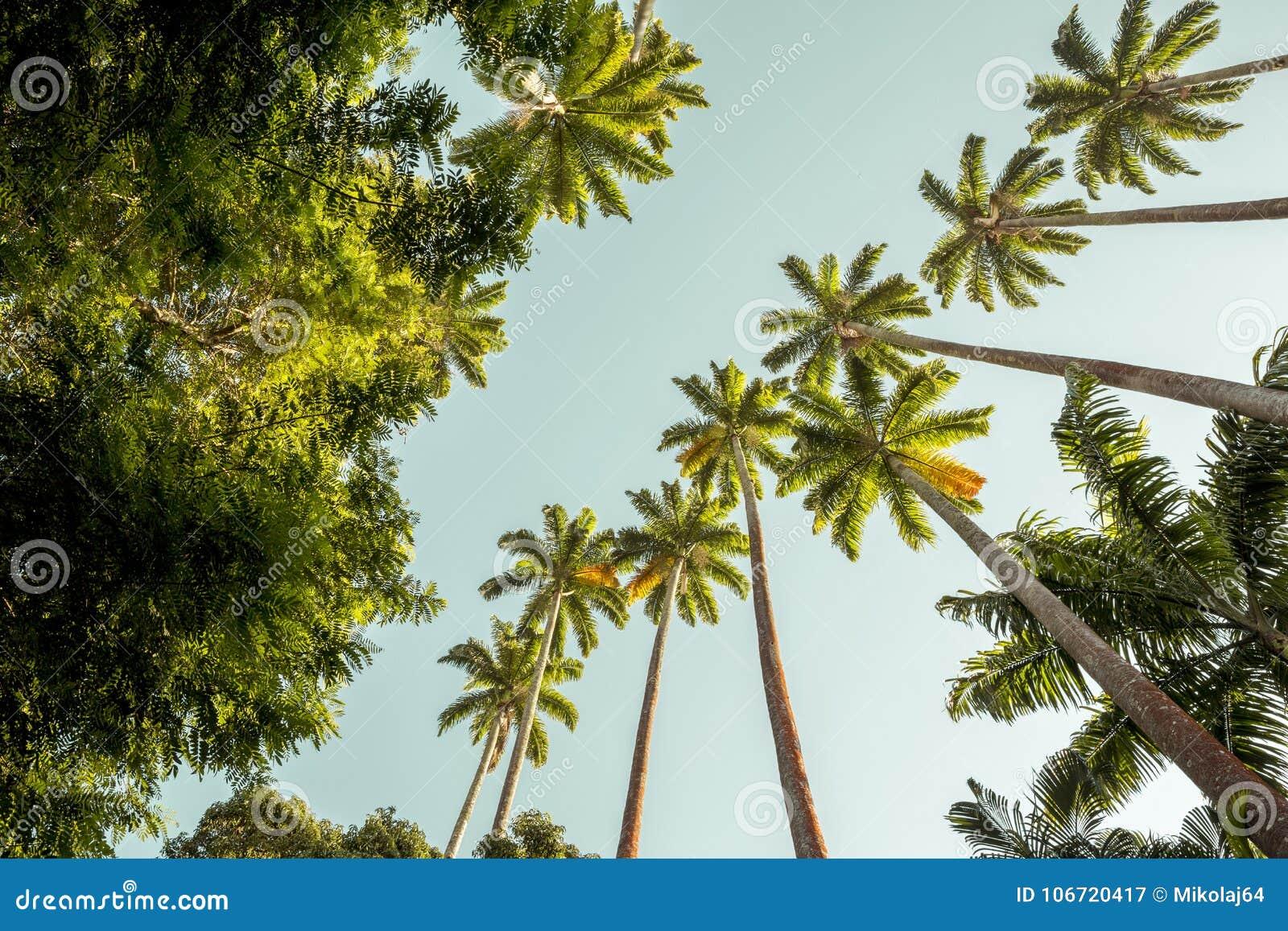 Palm trees in Botanical Garden in Rio de Janeiro, Brazil