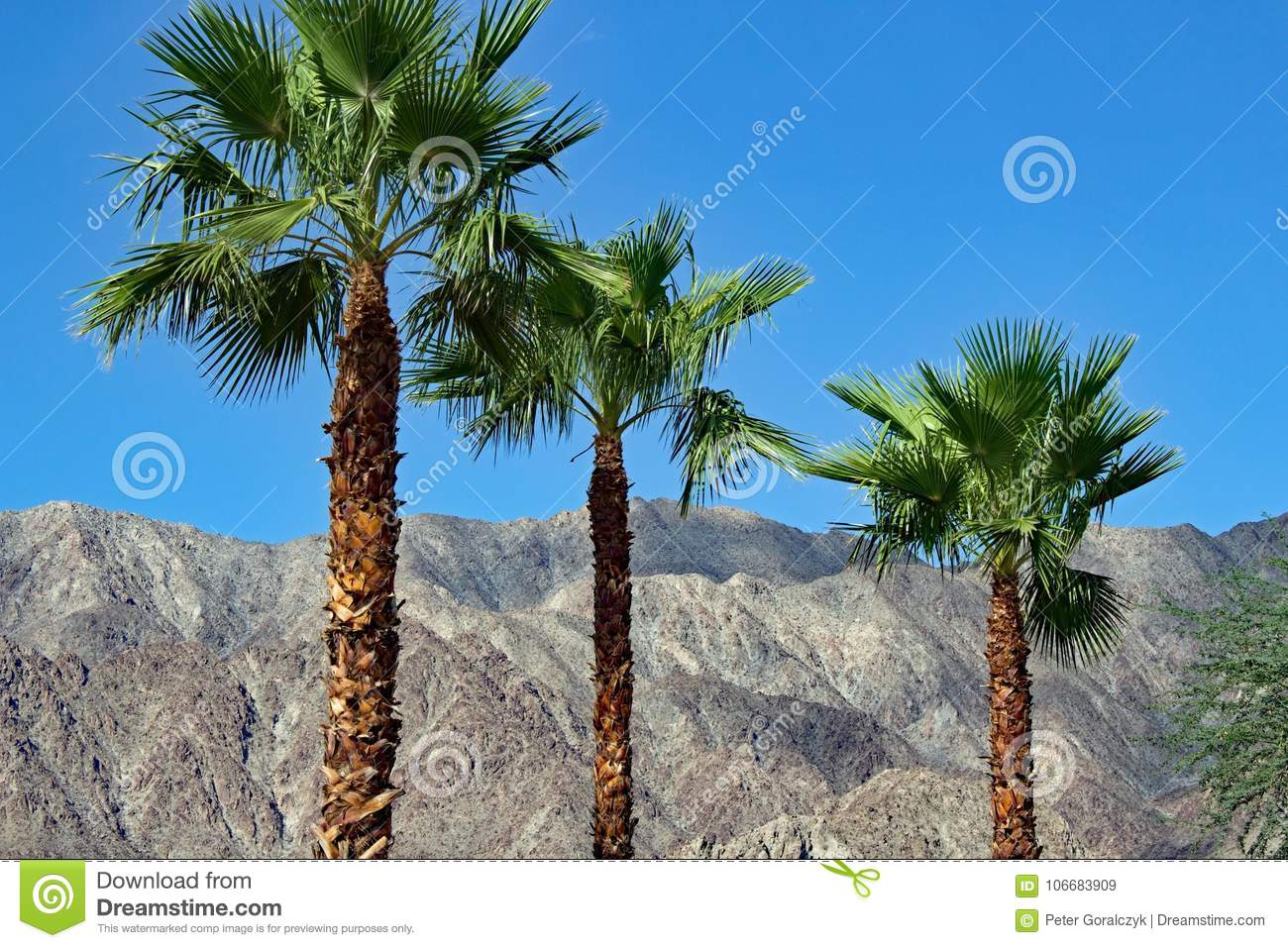 Palm trees at Palm Springs California