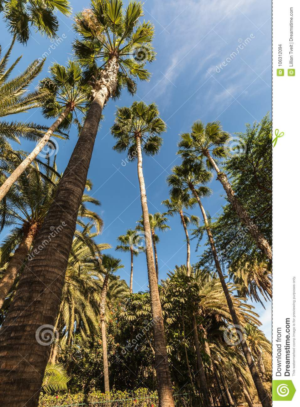 Palm trees reaching towards a blue sky. Frog perspective.