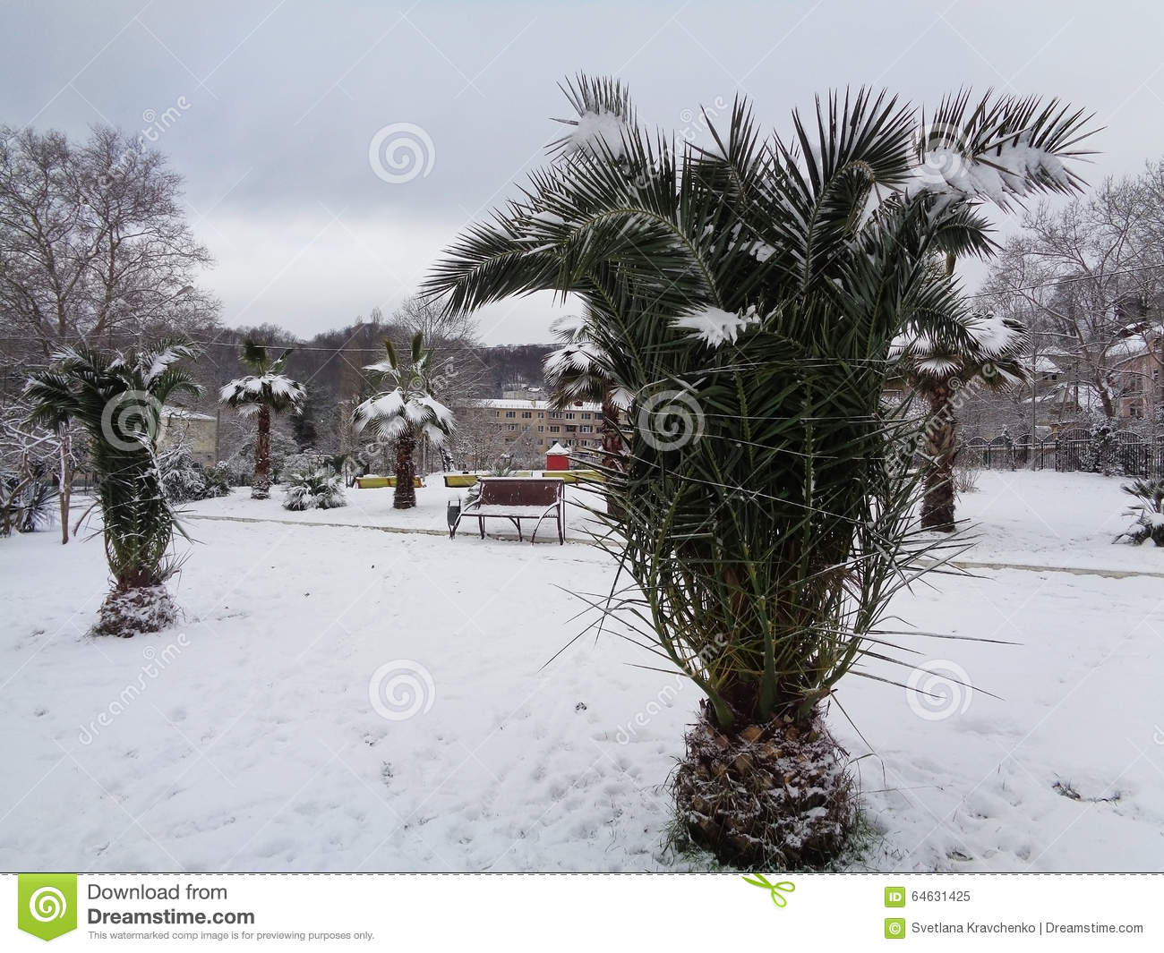 Palm trees in the snow, Sochi, Russia