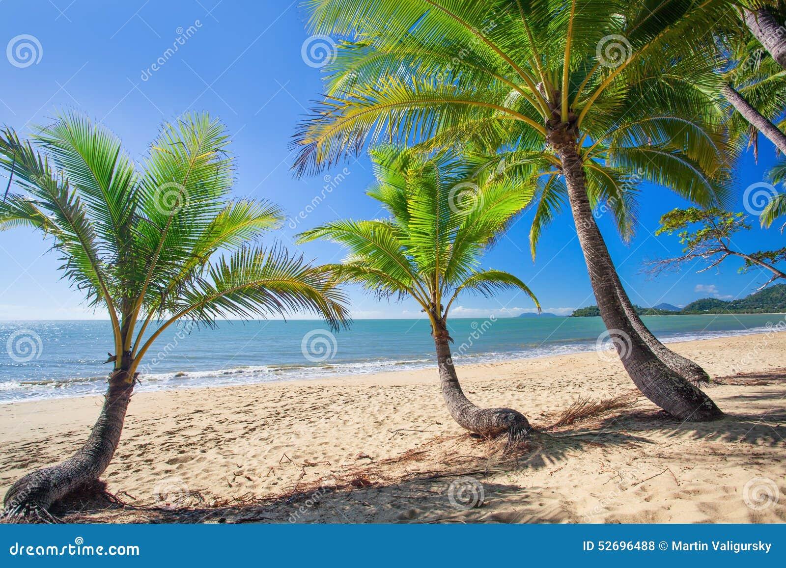 Date palms in Brisbane