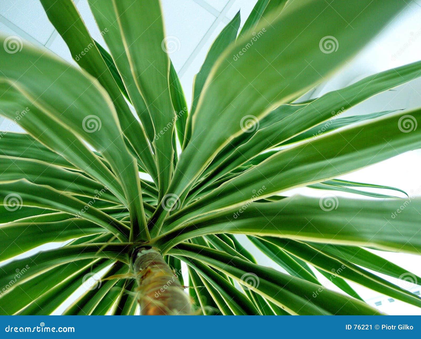 Palma immagine stock immagine di palma alberi pianta for Pianta palma