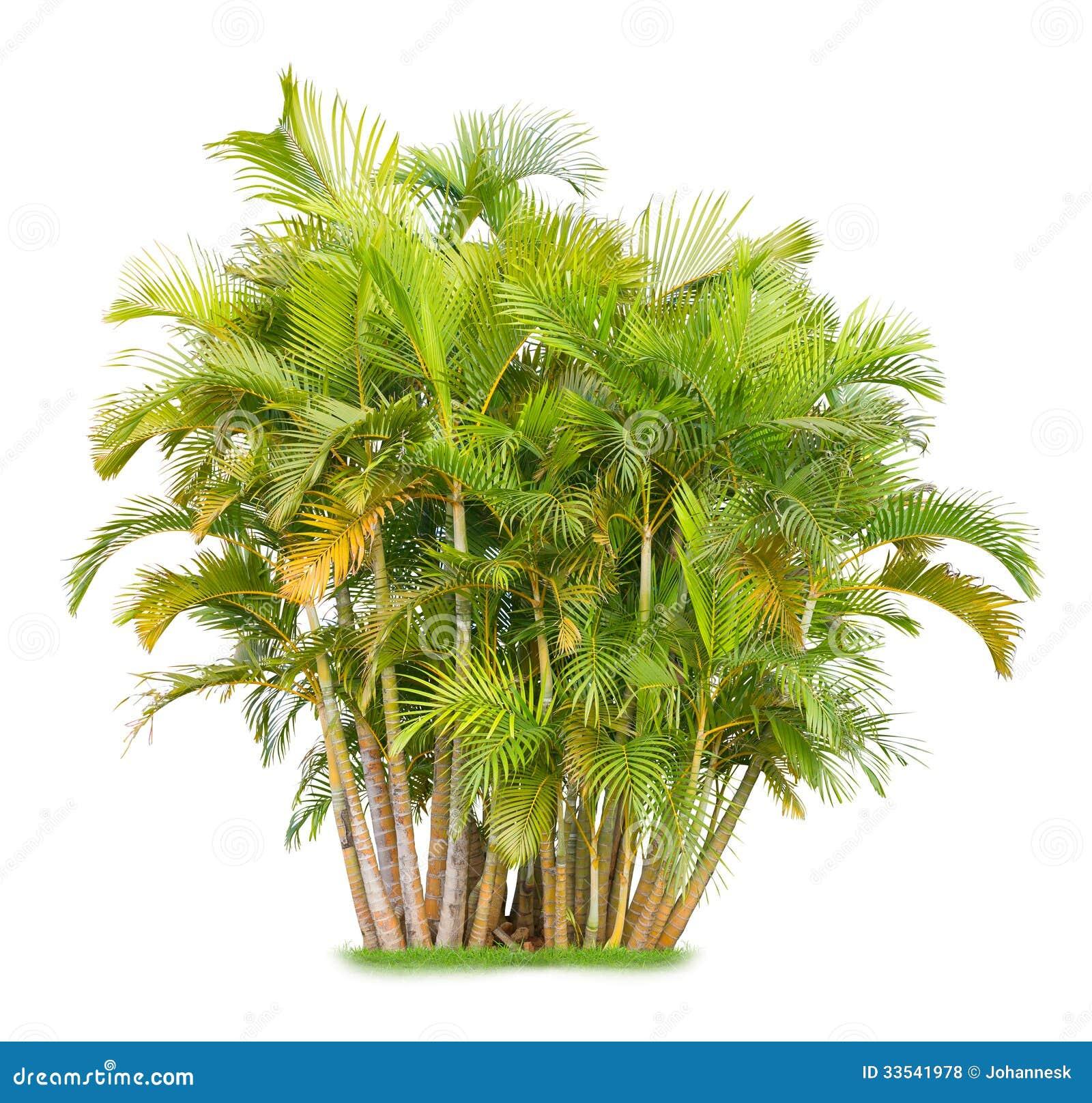 palma areca fotografia stock immagine di verde botanica