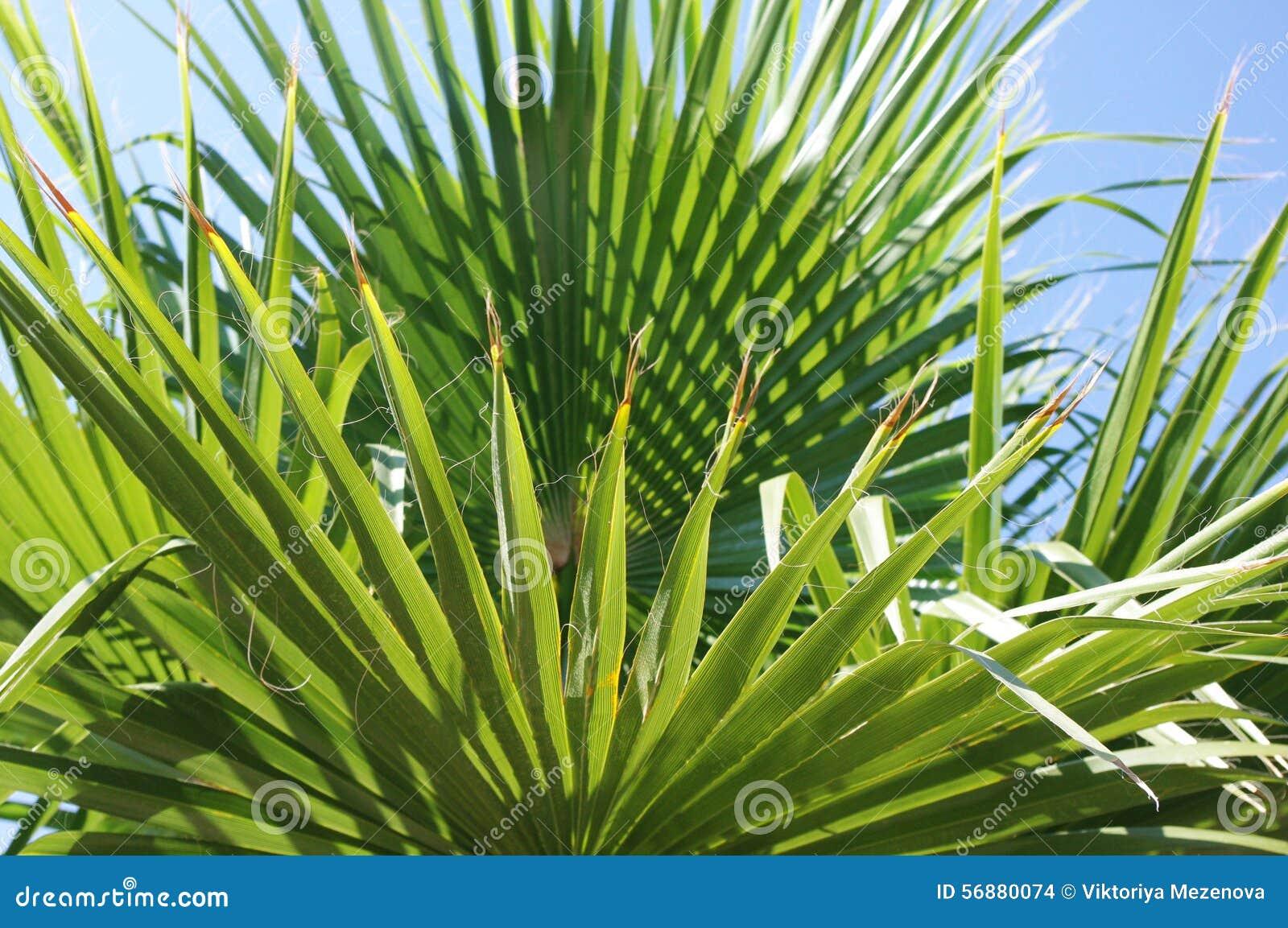 Palma branch1