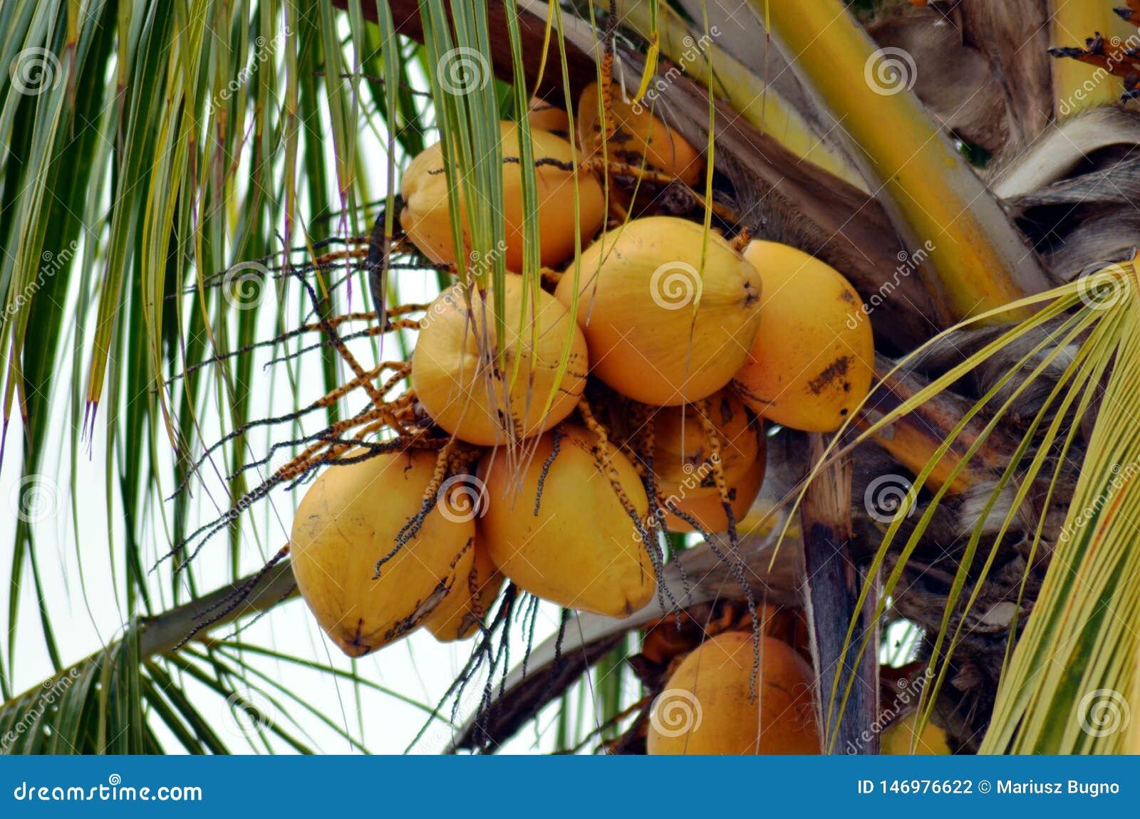 Palma de coco con los cocos