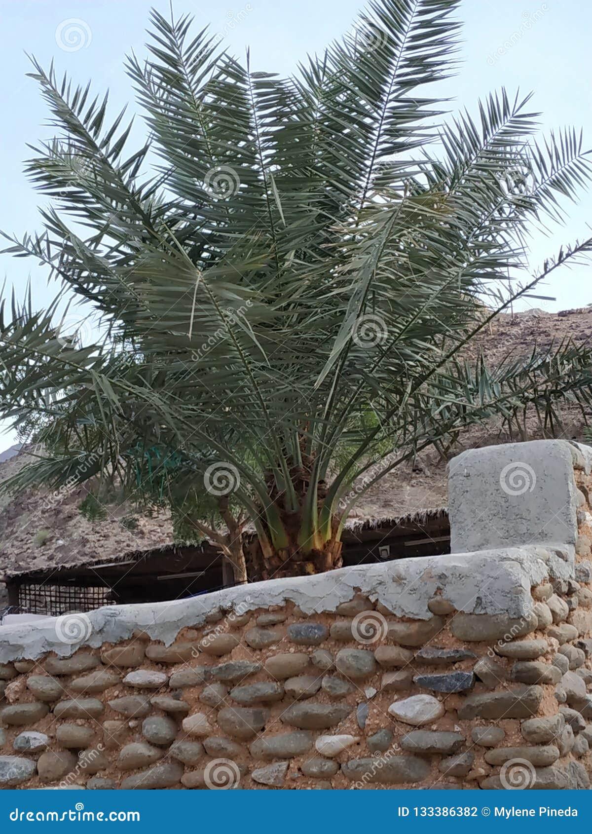 Palma de data em Madha, Omã