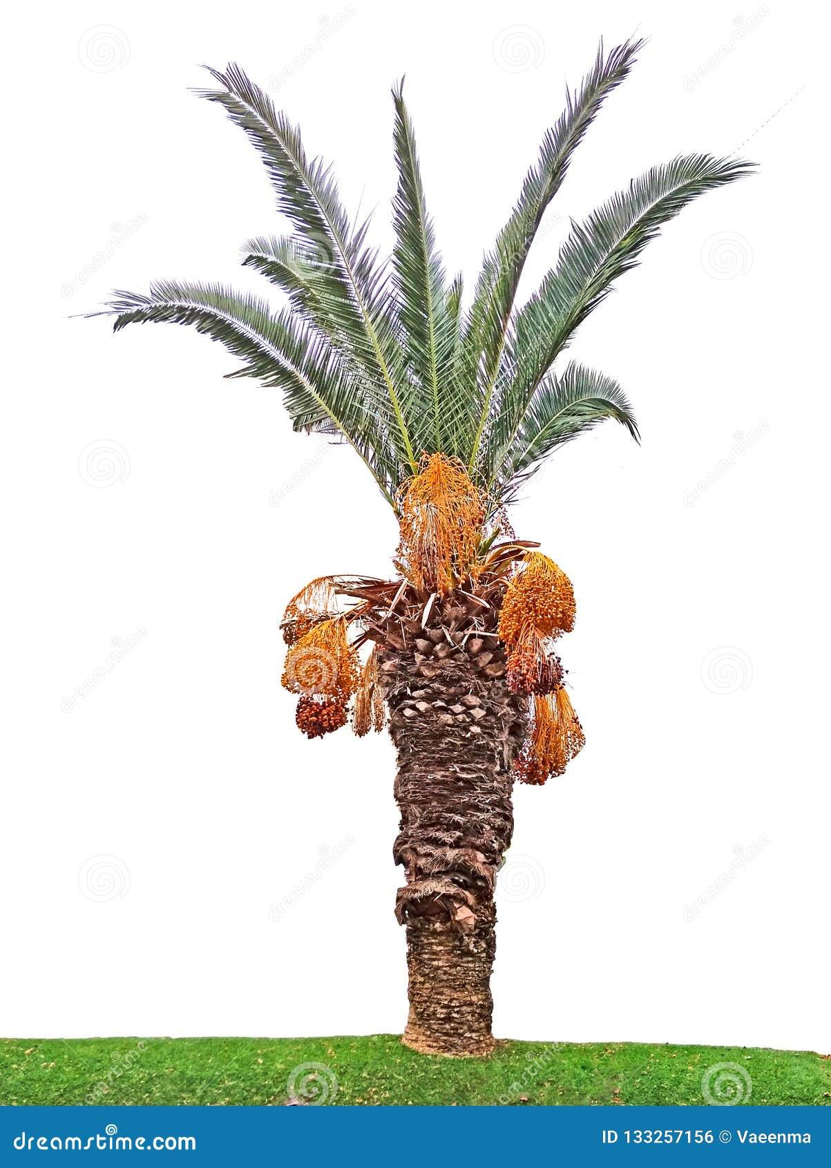 Palma de tâmara