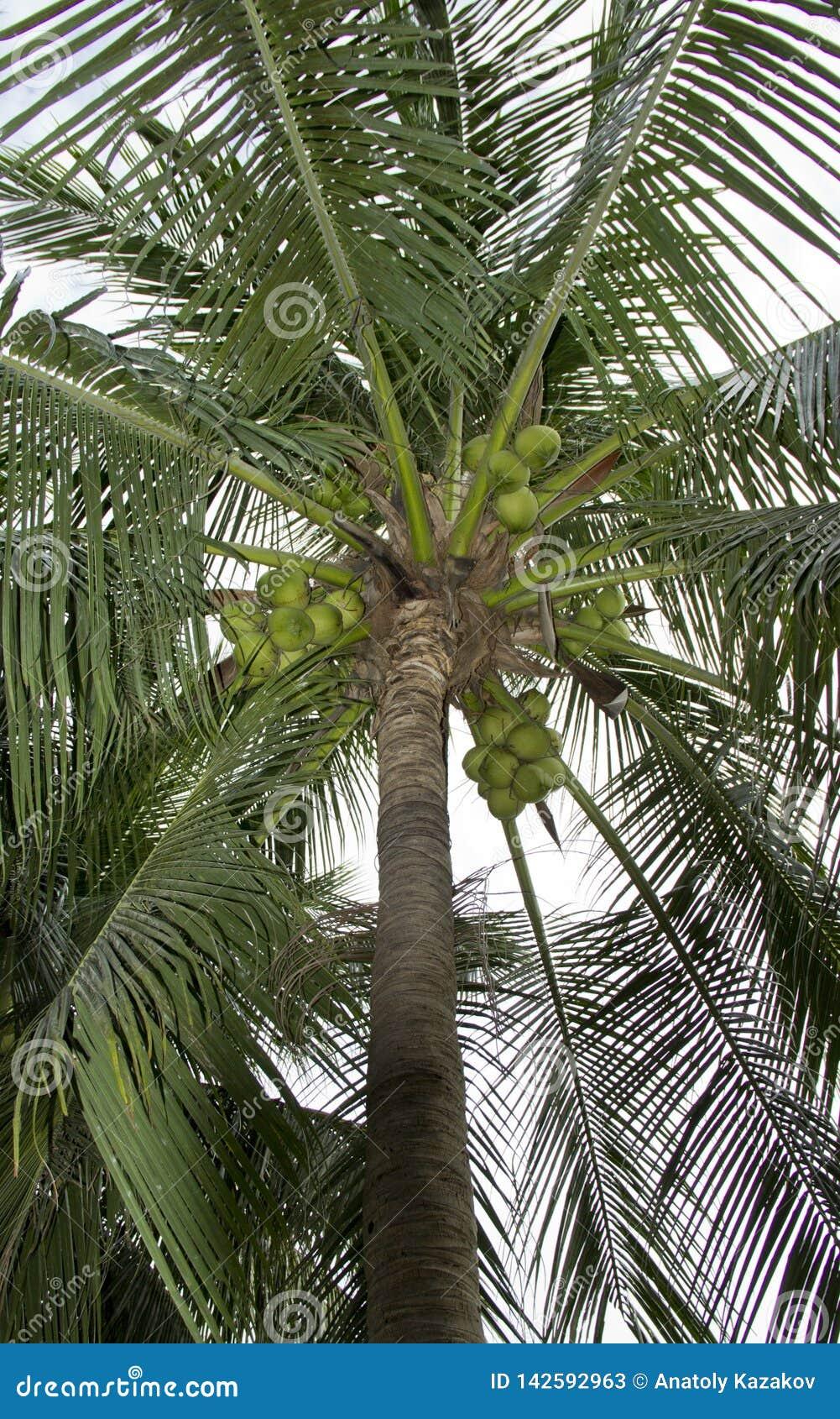 Palma di noce di cocco