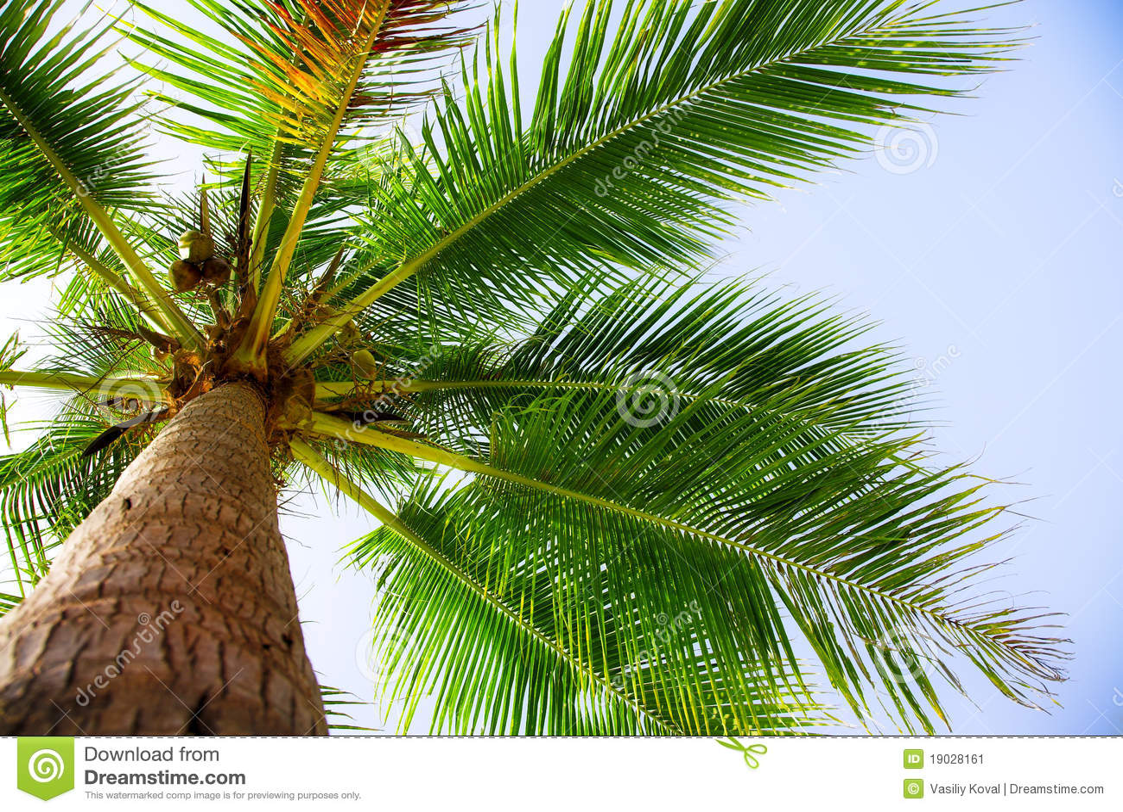 Palma di noce di cocco immagine stock immagine 19028161 - Palma di cocco ...