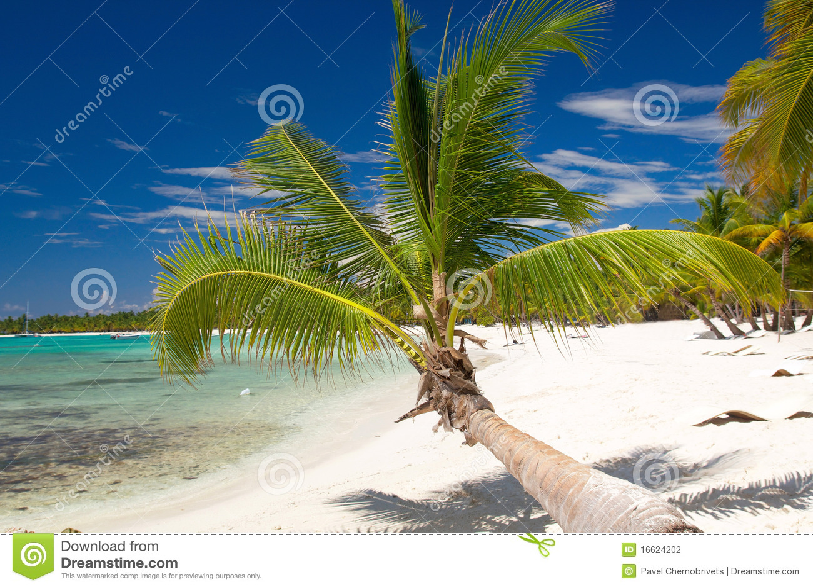 Palma di noce di cocco sulla spiaggia caraibica saona - Palma di cocco ...