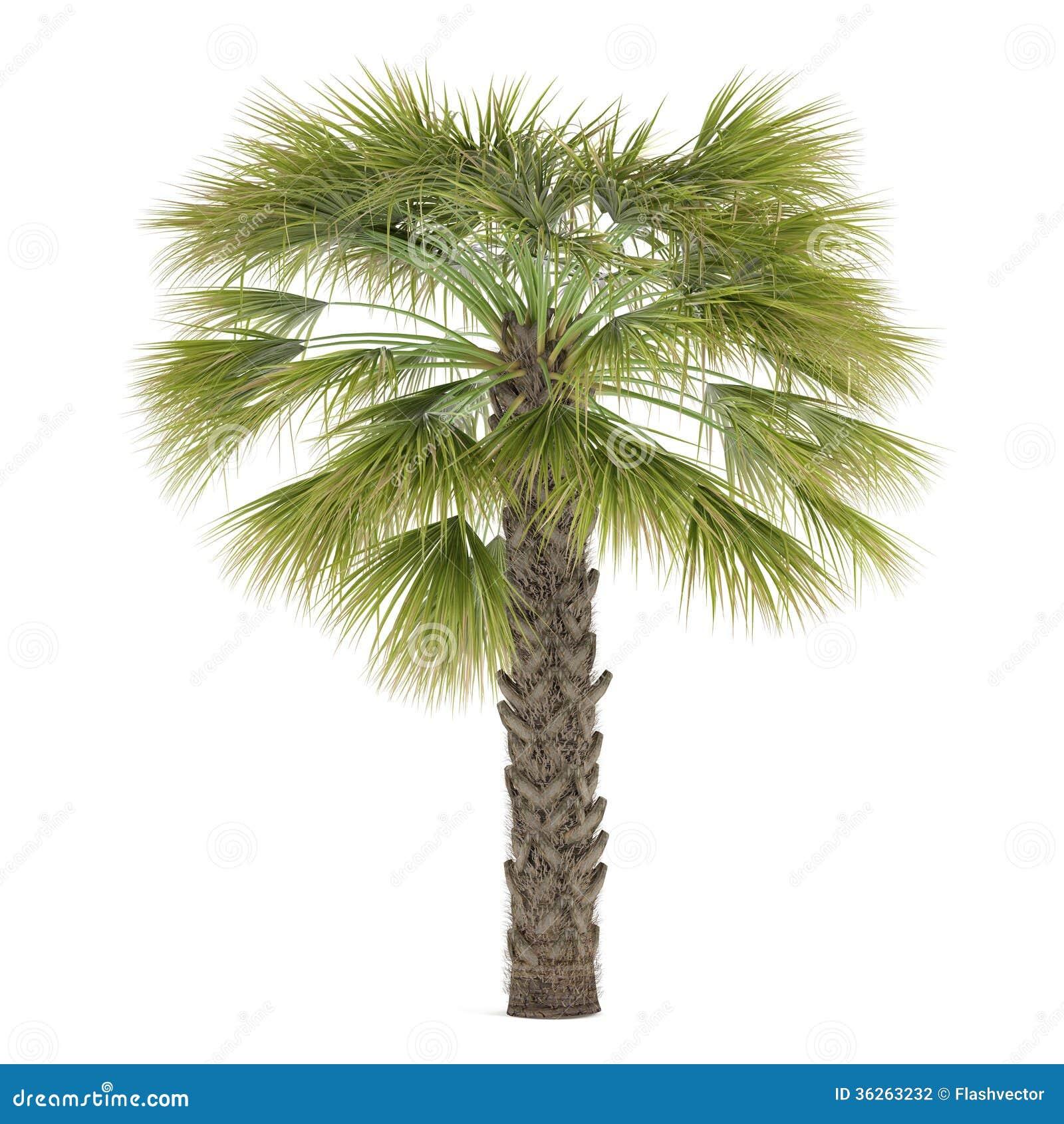 Palma isolata. Sabal palmetto