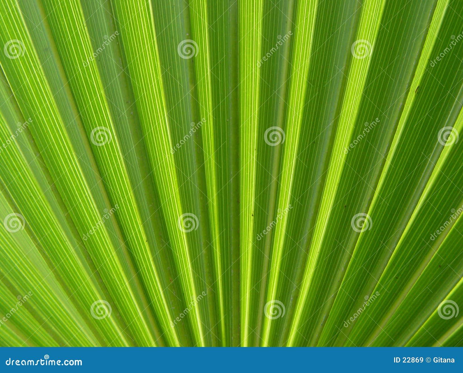 Palma liści,