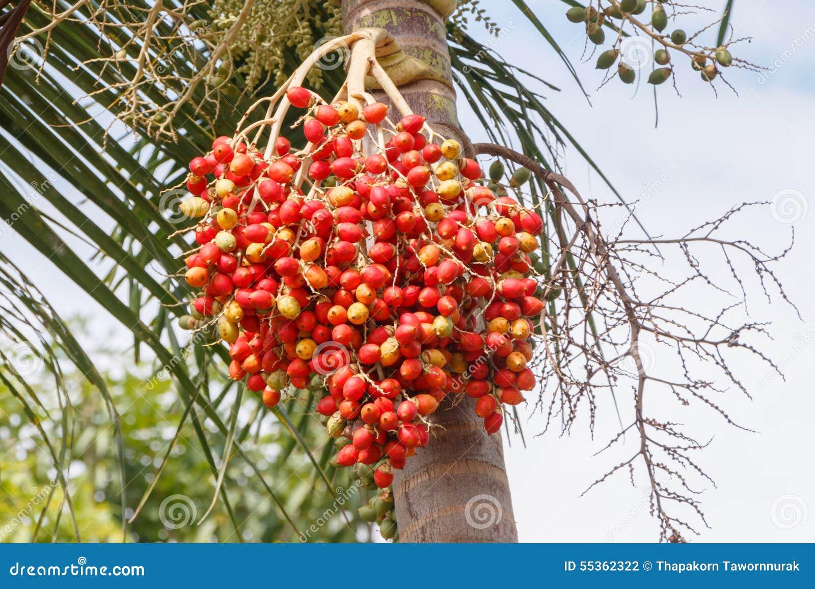 Palma rossa della noce di betel