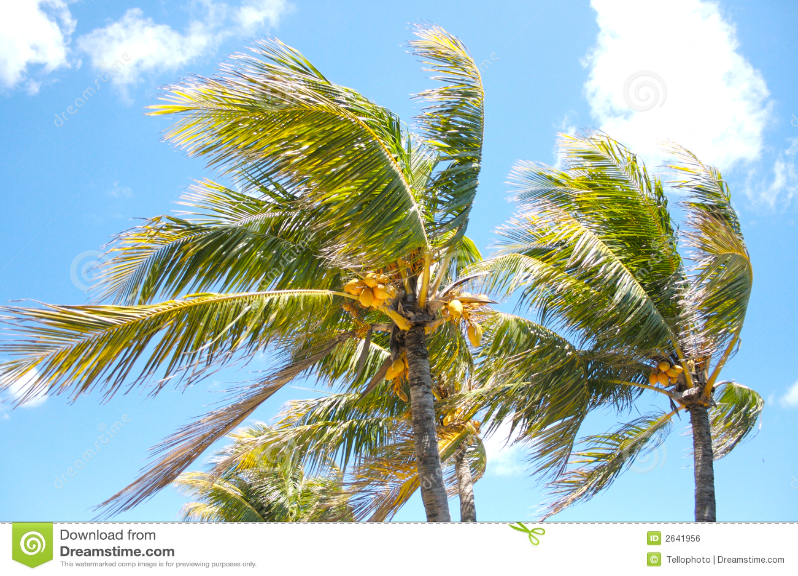 Palma wiatr