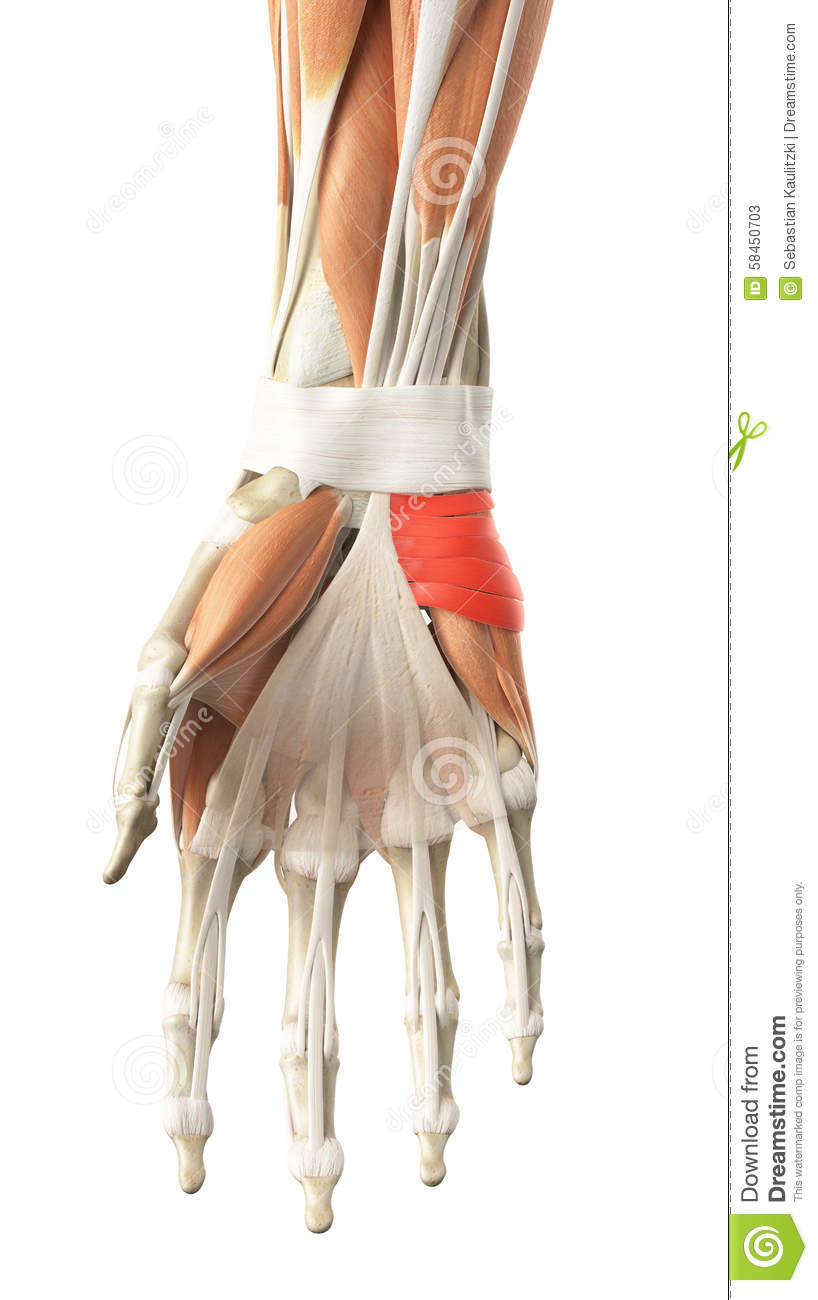 The Palmaris Brevis Stock Illustration Image 58450703
