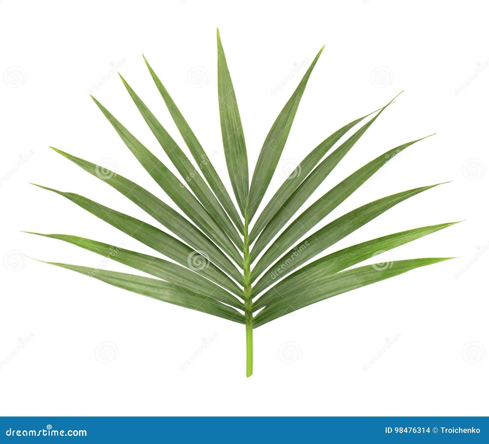 Palmblad dat op witte achtergrond wordt geïsoleerde Close-up van een tak van de kokospalm Groen tropisch blad